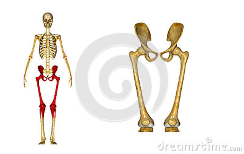Skeleton: Hip And Femur Bones Stock Illustration - Illustration of ...