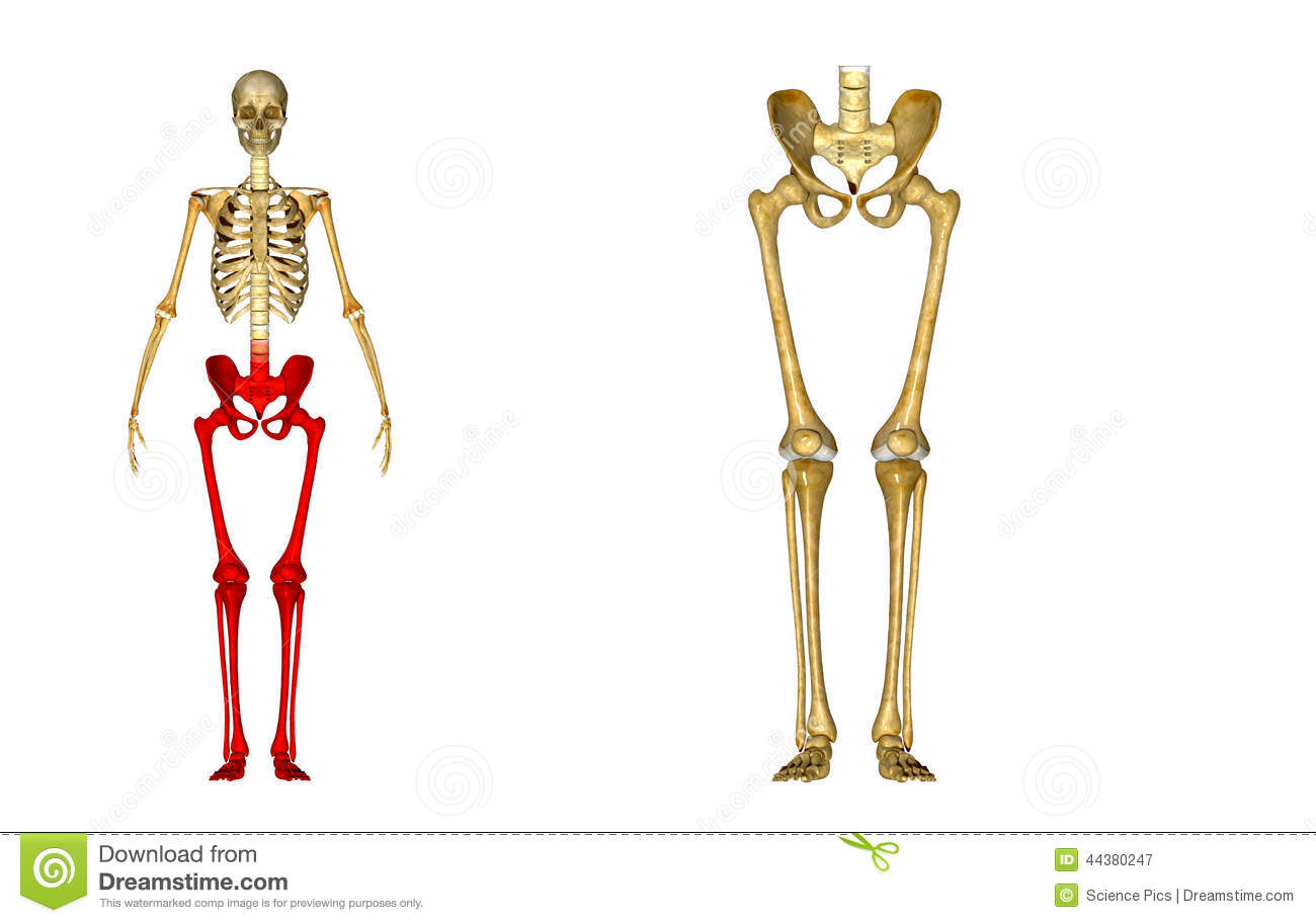 Skeleton Hip Femur Tibia Fibula Ankle And Foot Bones Stock