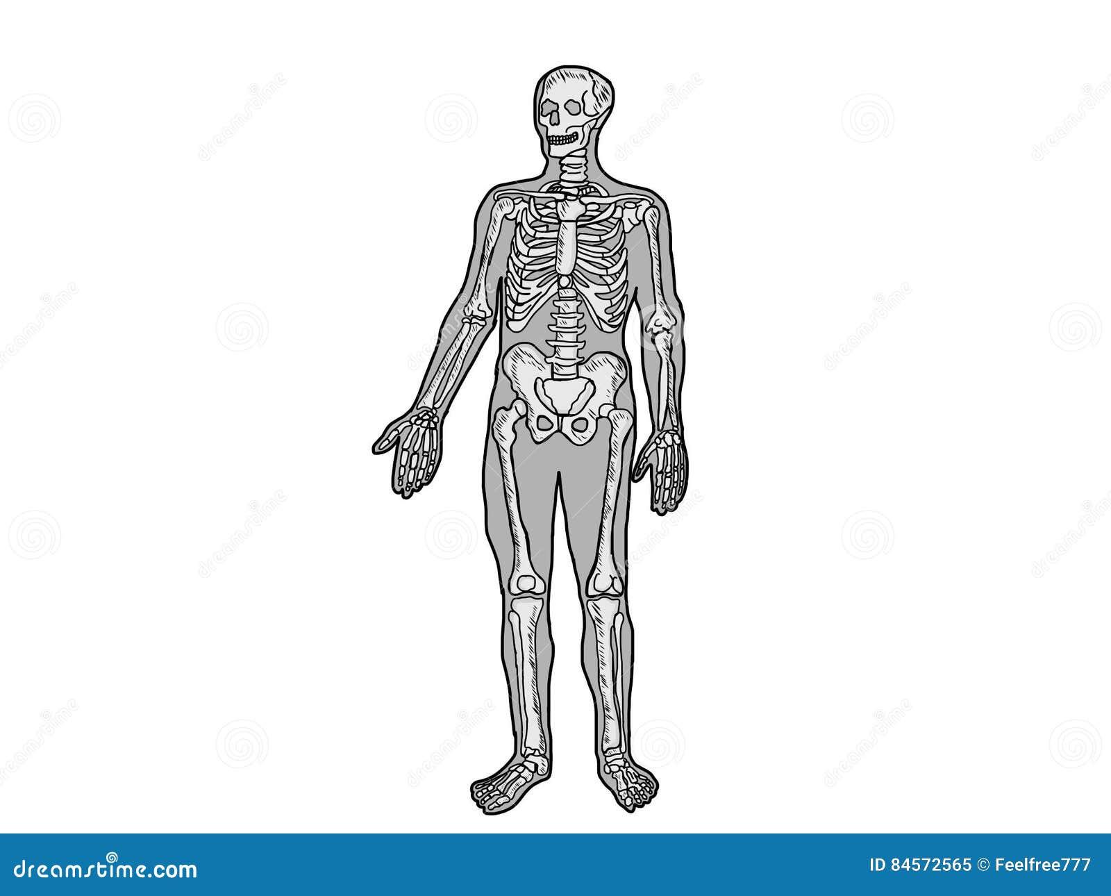 Skeleton Human Anatomy Scheme Stock Illustration Illustration Of