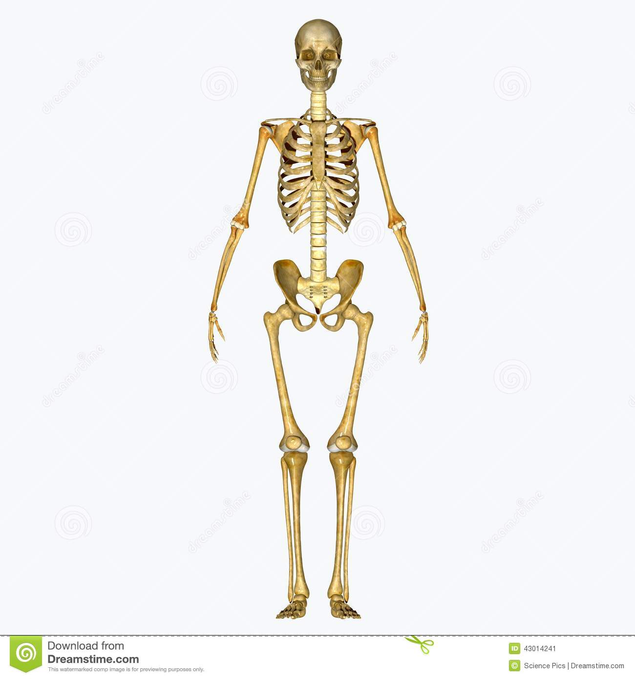 Skeleton Stock Image Image Of Appendicular Column Body 43014241