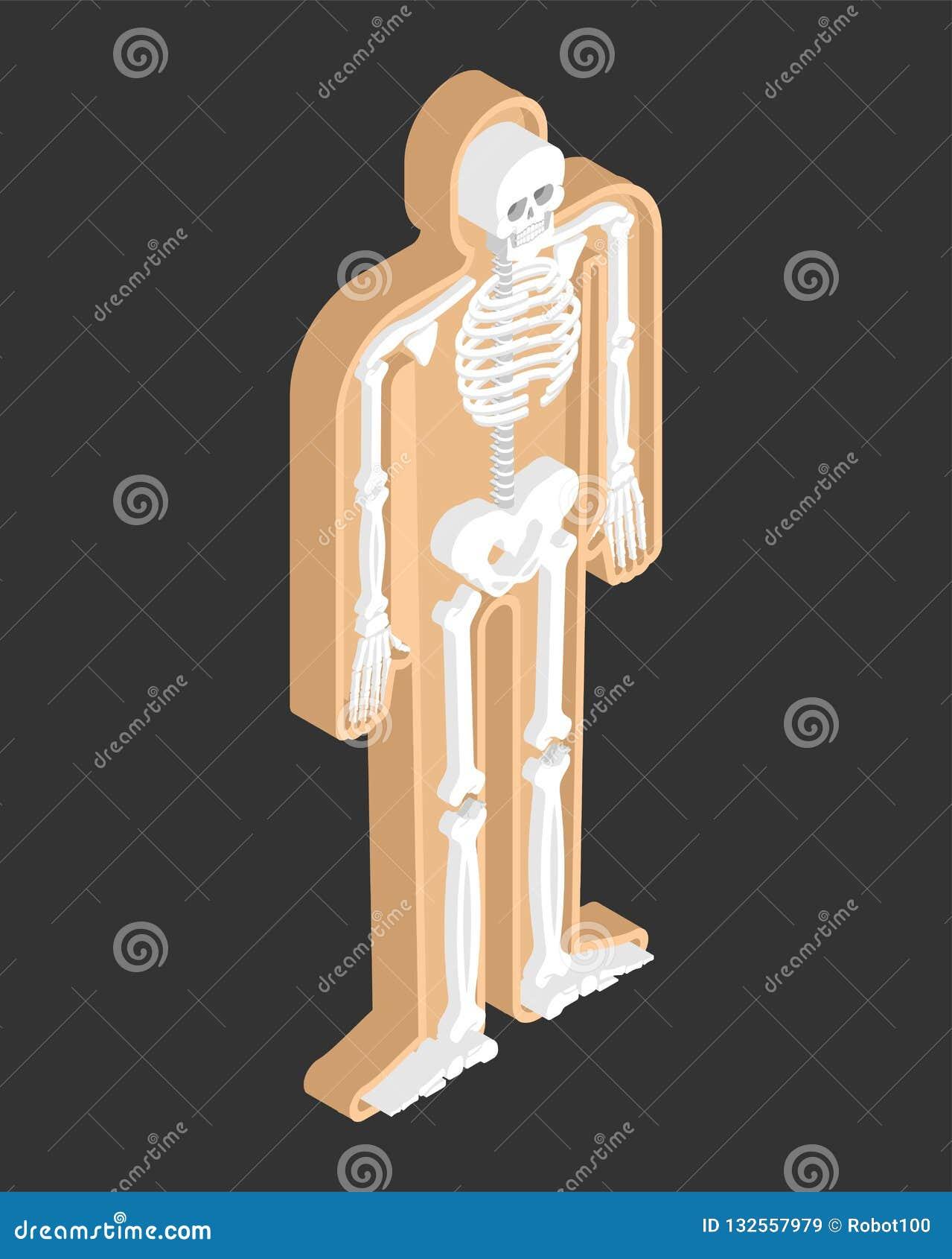 Skeleton Isometric Anatomy Of Human Body  Internal Organs 3D