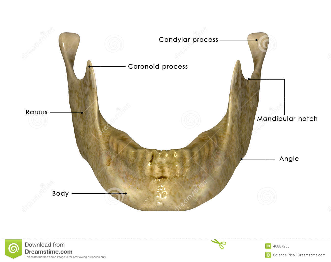 Skeleton jaw stock illustration illustration of object for Antropometria humana