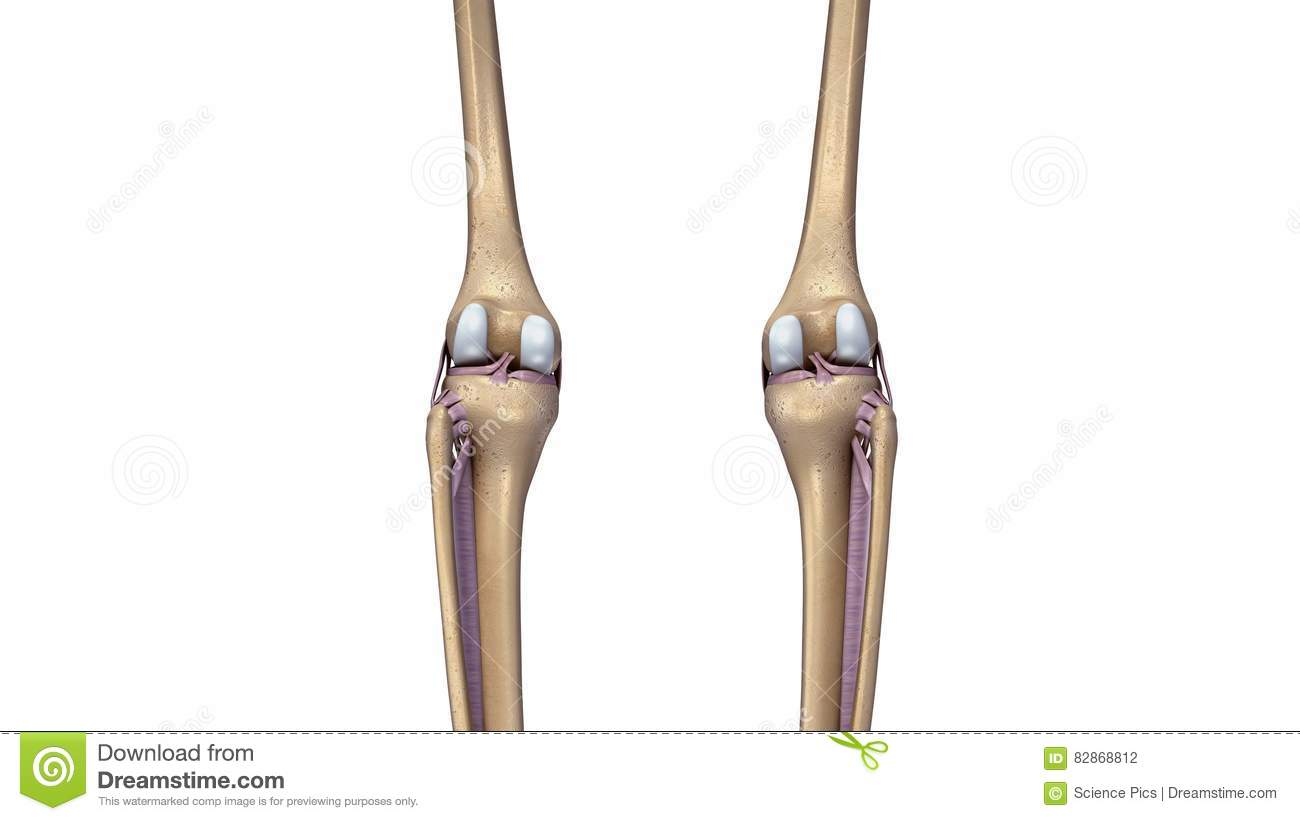Skeleton Knee Joint With Ligaments Back View Stock Illustration