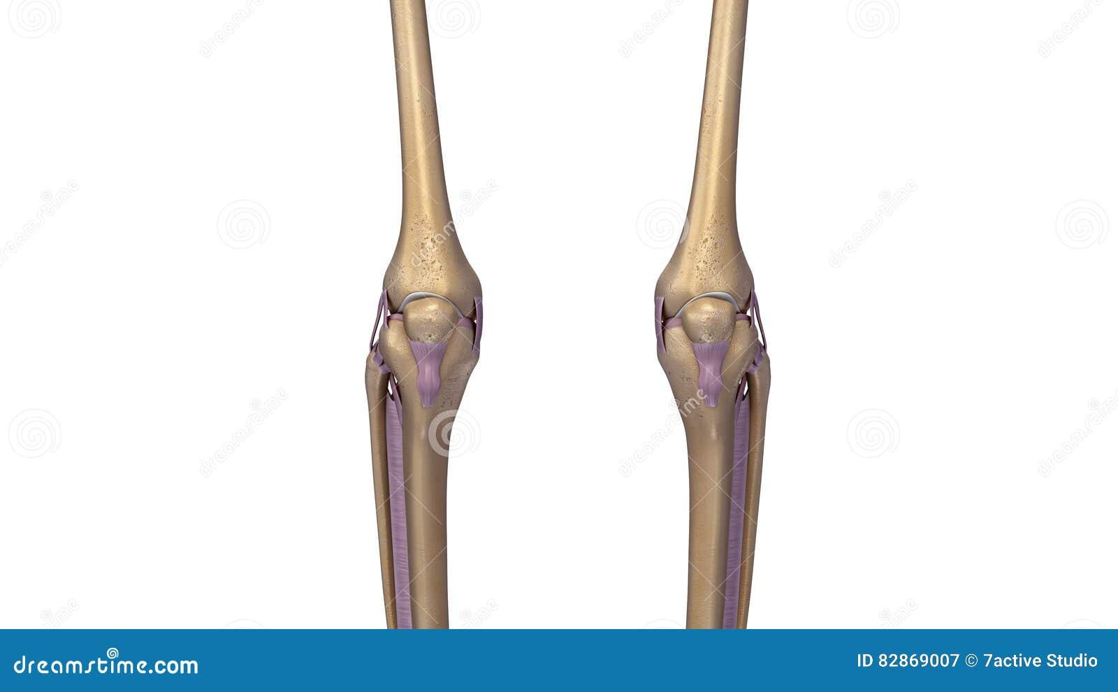 Skeleton Knee Joint With Ligaments Stock Illustration Illustration