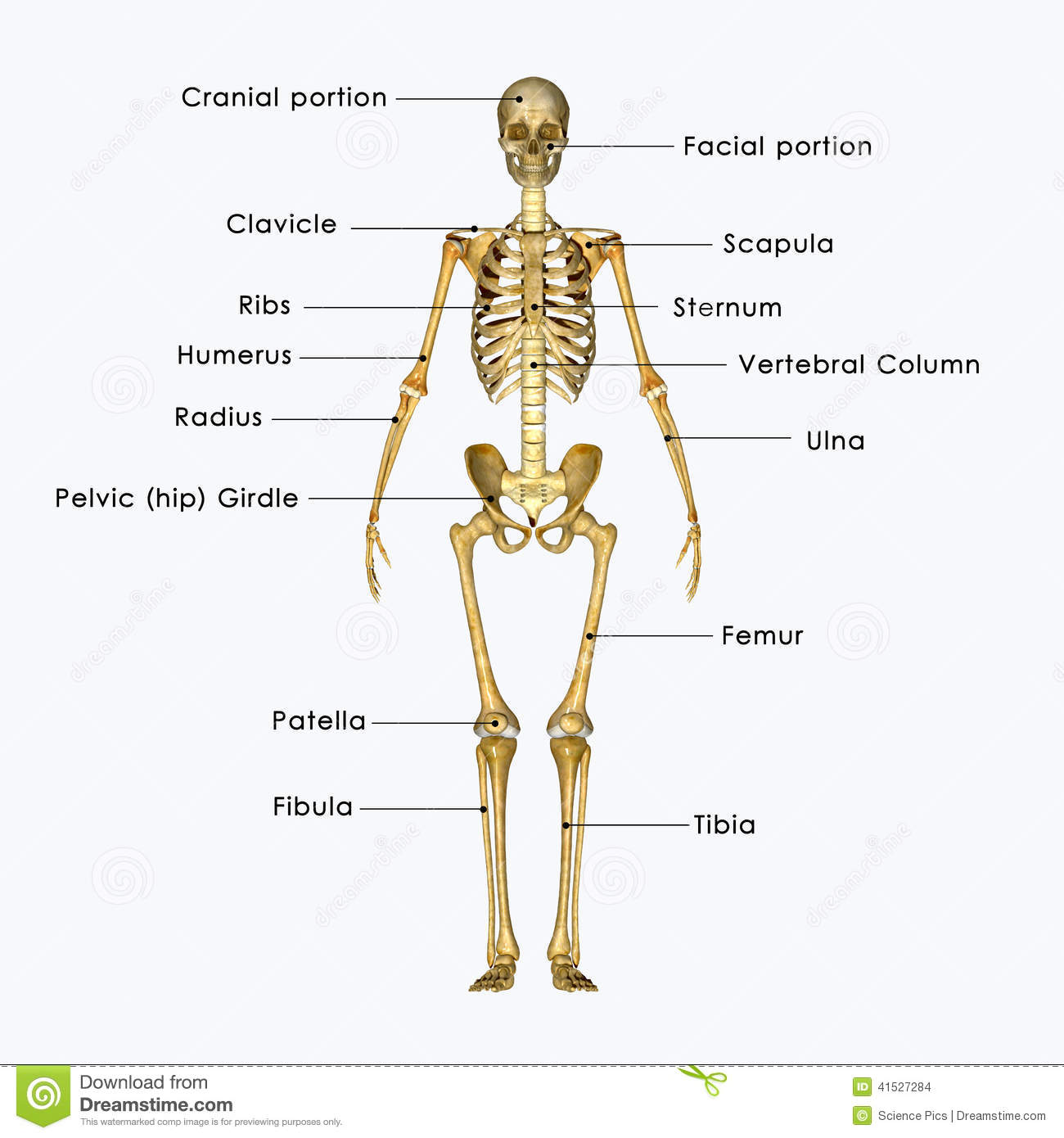 Skeleton Labelled Stock Illustration Illustration Of Biology 41527284