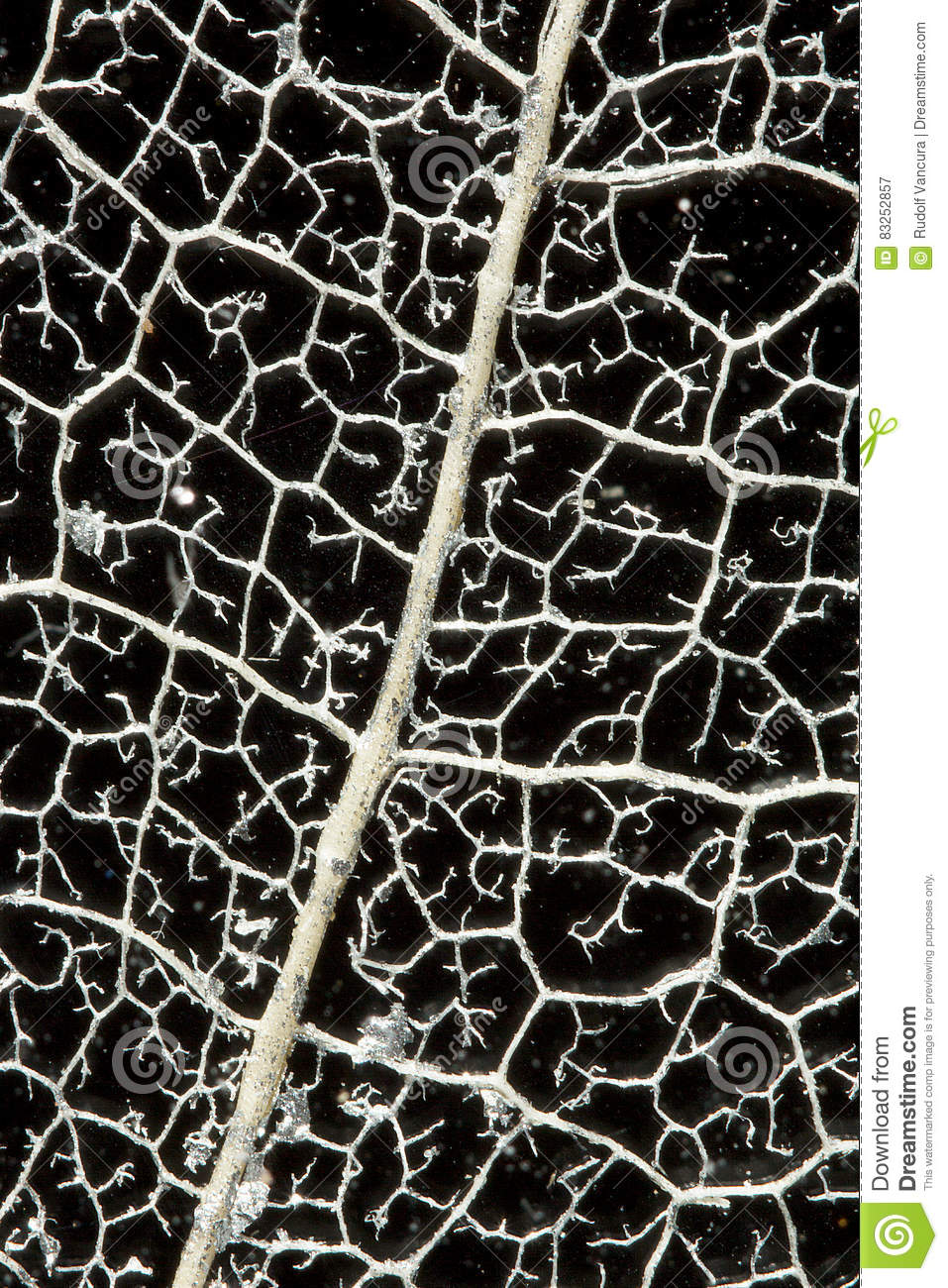 Download Skeleton of a Leaf stock image. Image of close, silver - 83252857