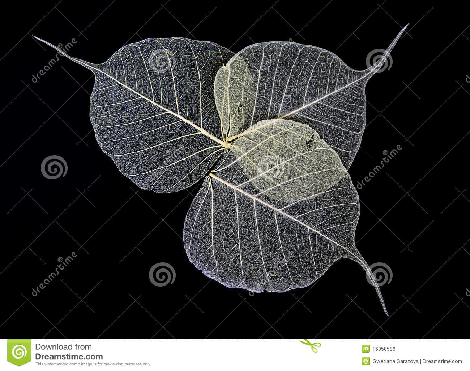 Skeleton Leaves Flower Royalty Free Stock Image Image
