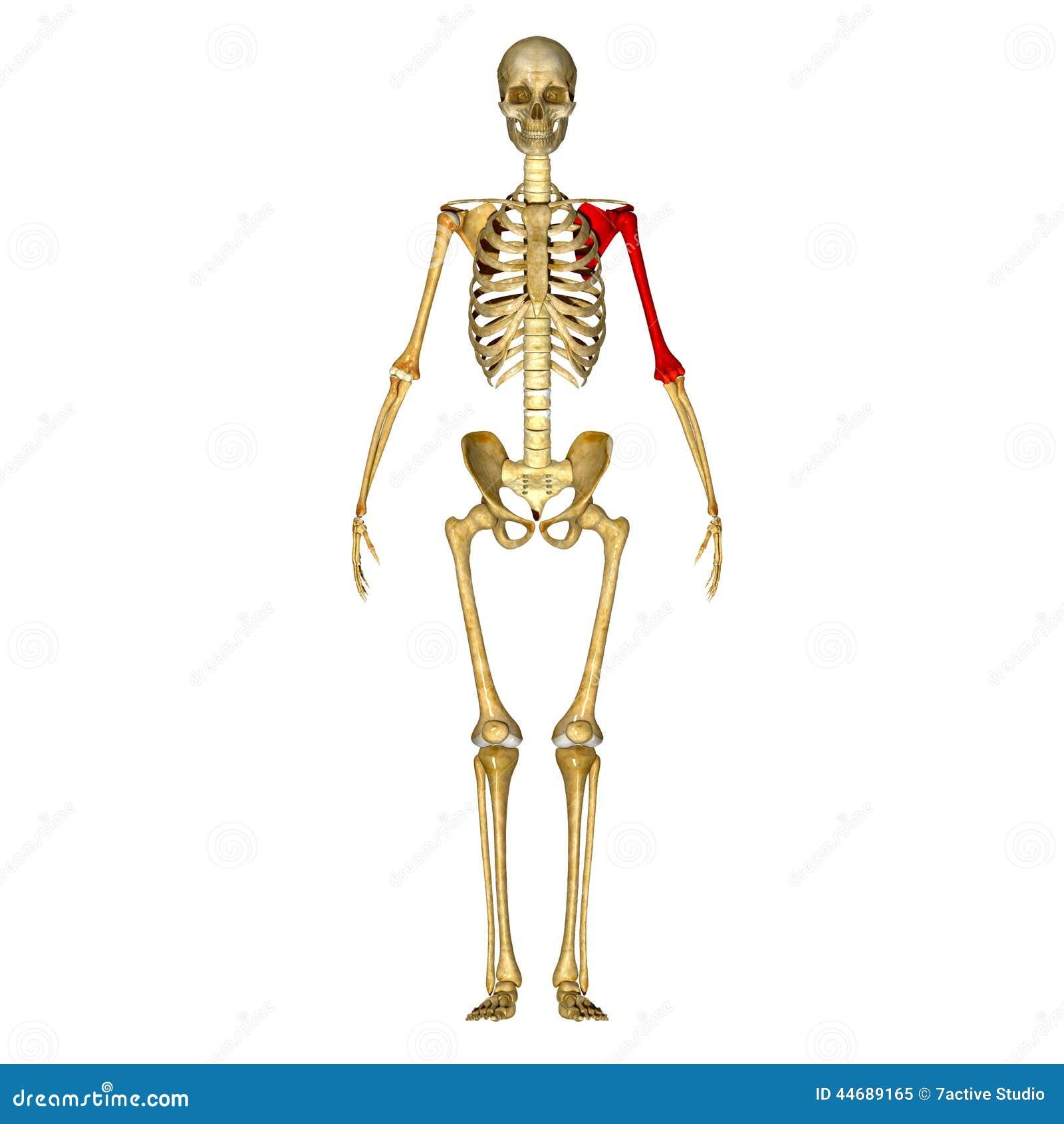 Skeleton: Left Hand Bone Stock Illustration - Image: 44689165