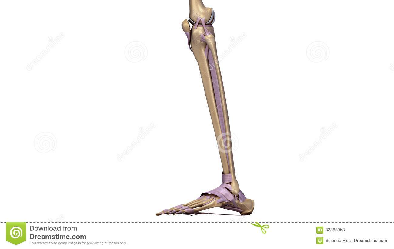 Skeleton Leg With Ligaments Side View Stock Illustration