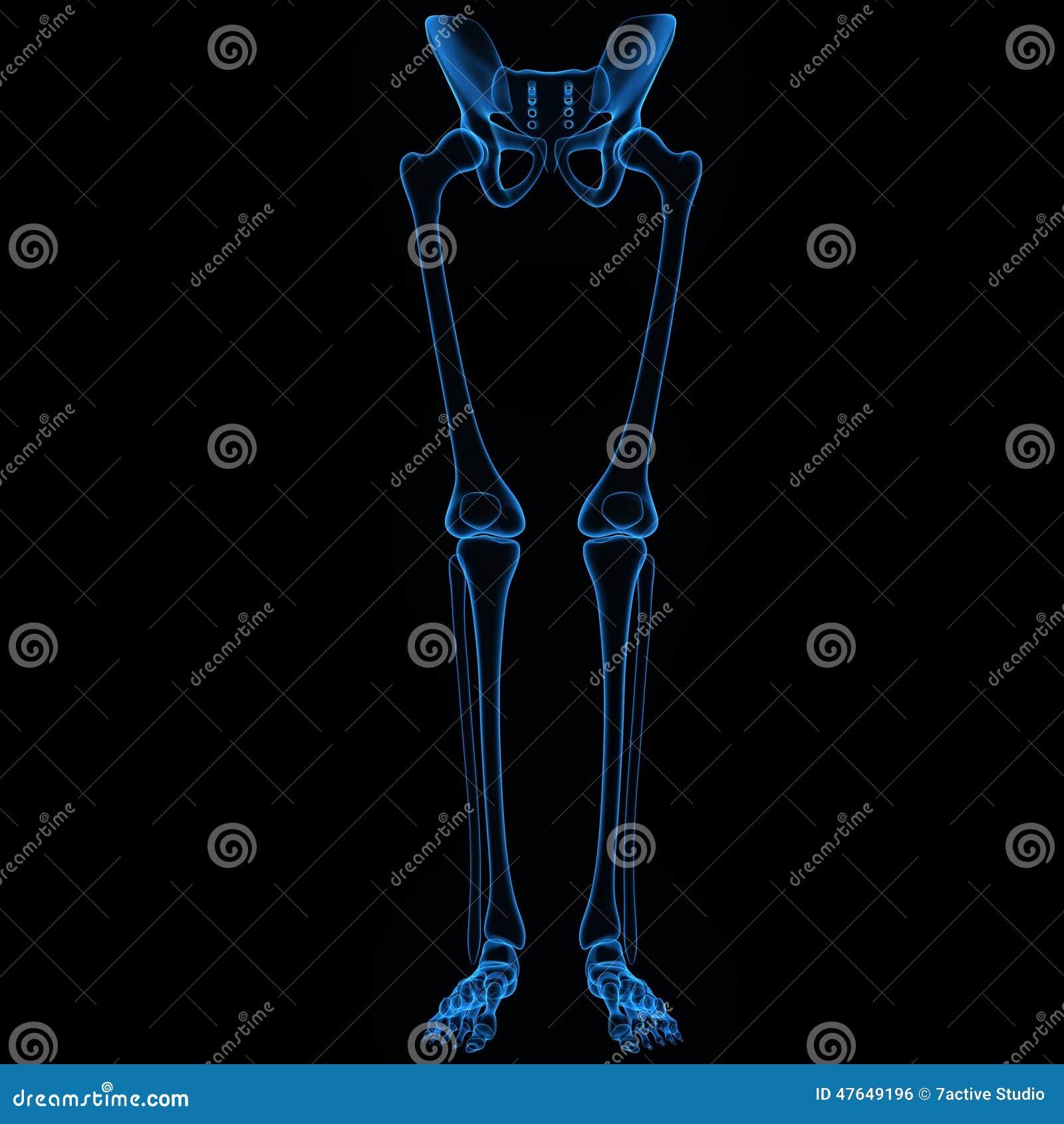 Skeleton Legs Stock Photo Image Of Sockethip Ankle 47649196