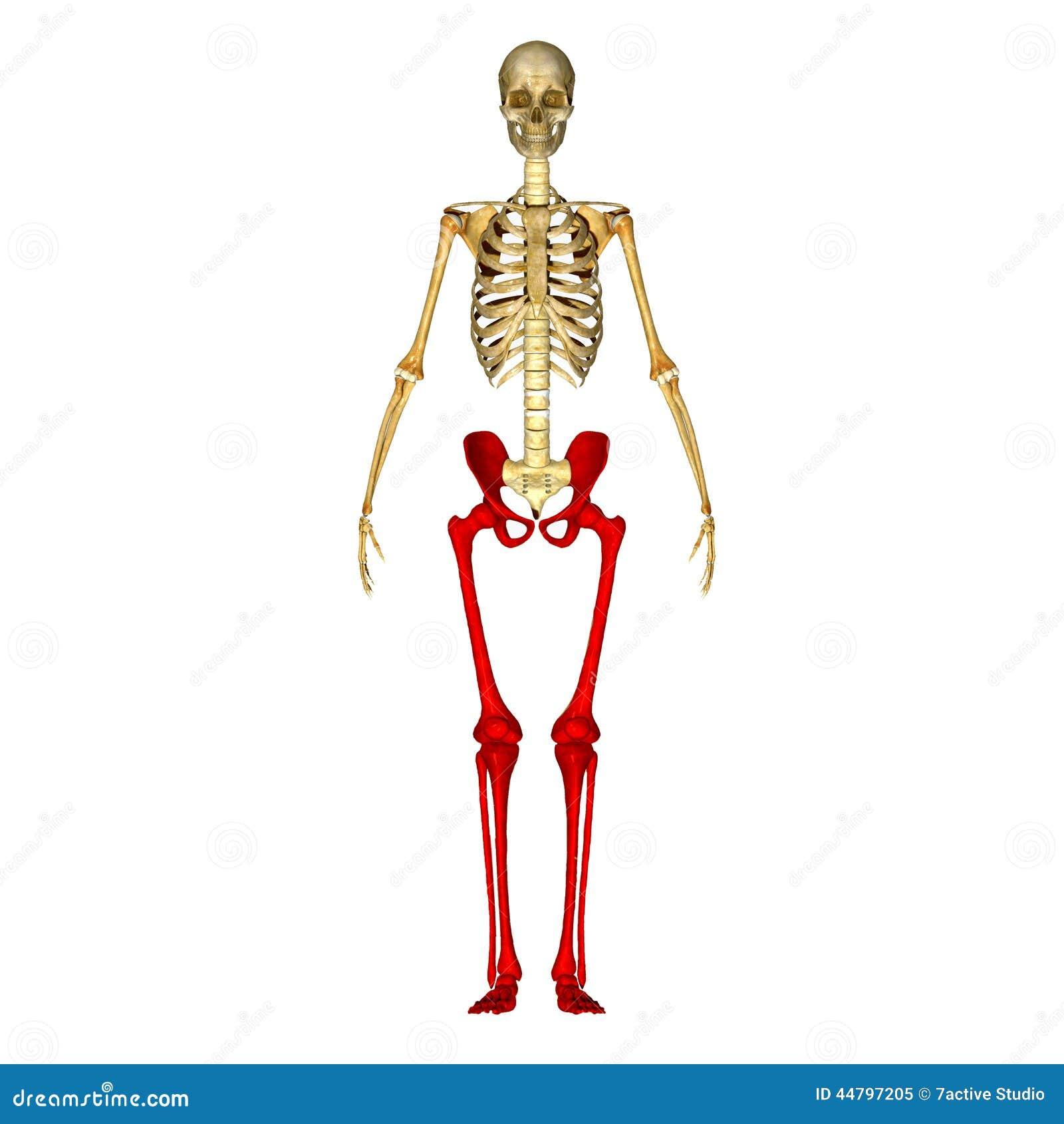 Skeleton Legs Stock Illustration Illustration Of Ilium 44797205