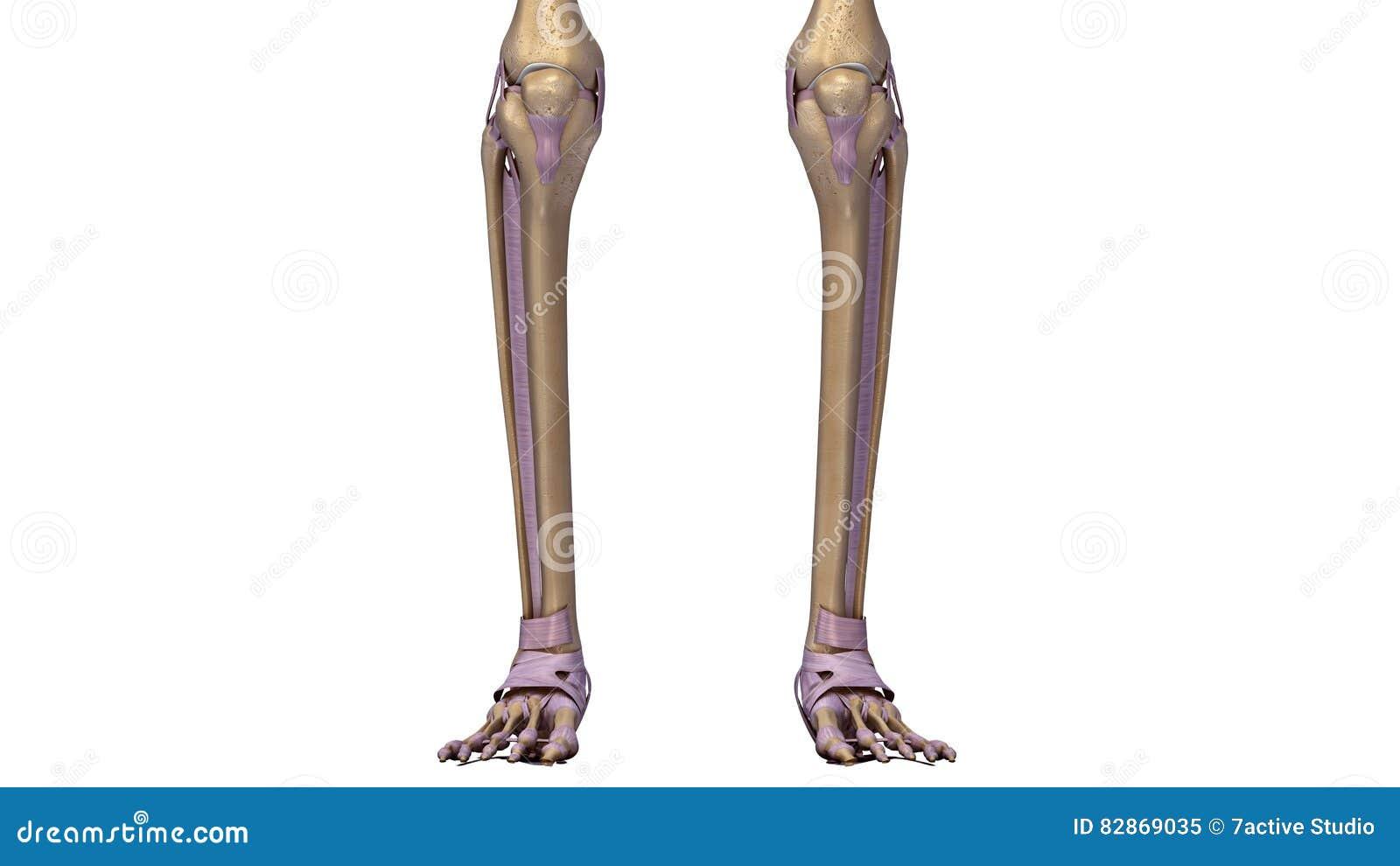 Skeleton Legs With Ligaments Stock Illustration Illustration Of