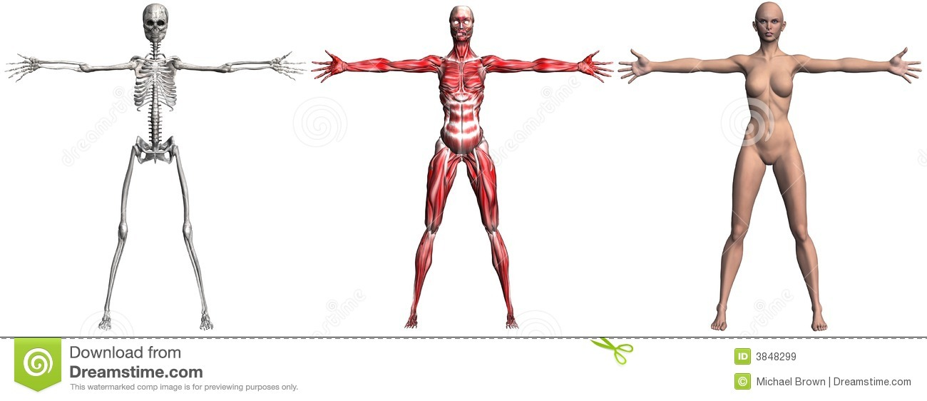 Skeleton And Muscles Of A Human Female Stock Illustration ...
