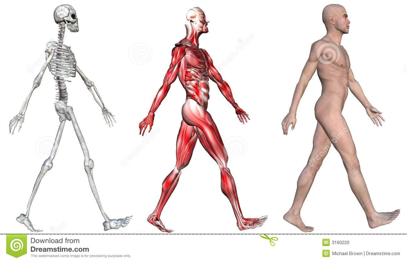 1000+ images about Anatomy on Pinterest | Muscle, Muscle ...