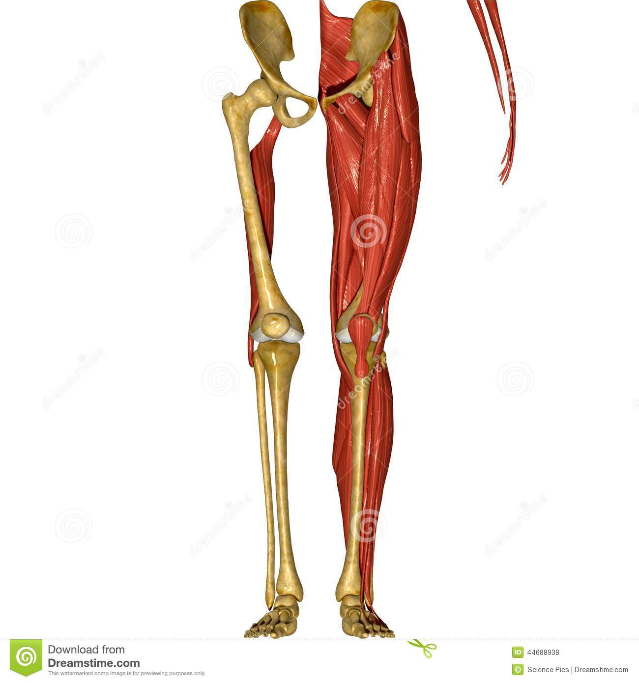 Skeleton And Muscles Of Legs Stock Illustration - Illustration of ...