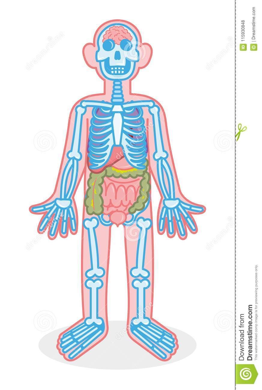 Skeleton And Organs Stock Vector Illustration Of Isolated 115930848