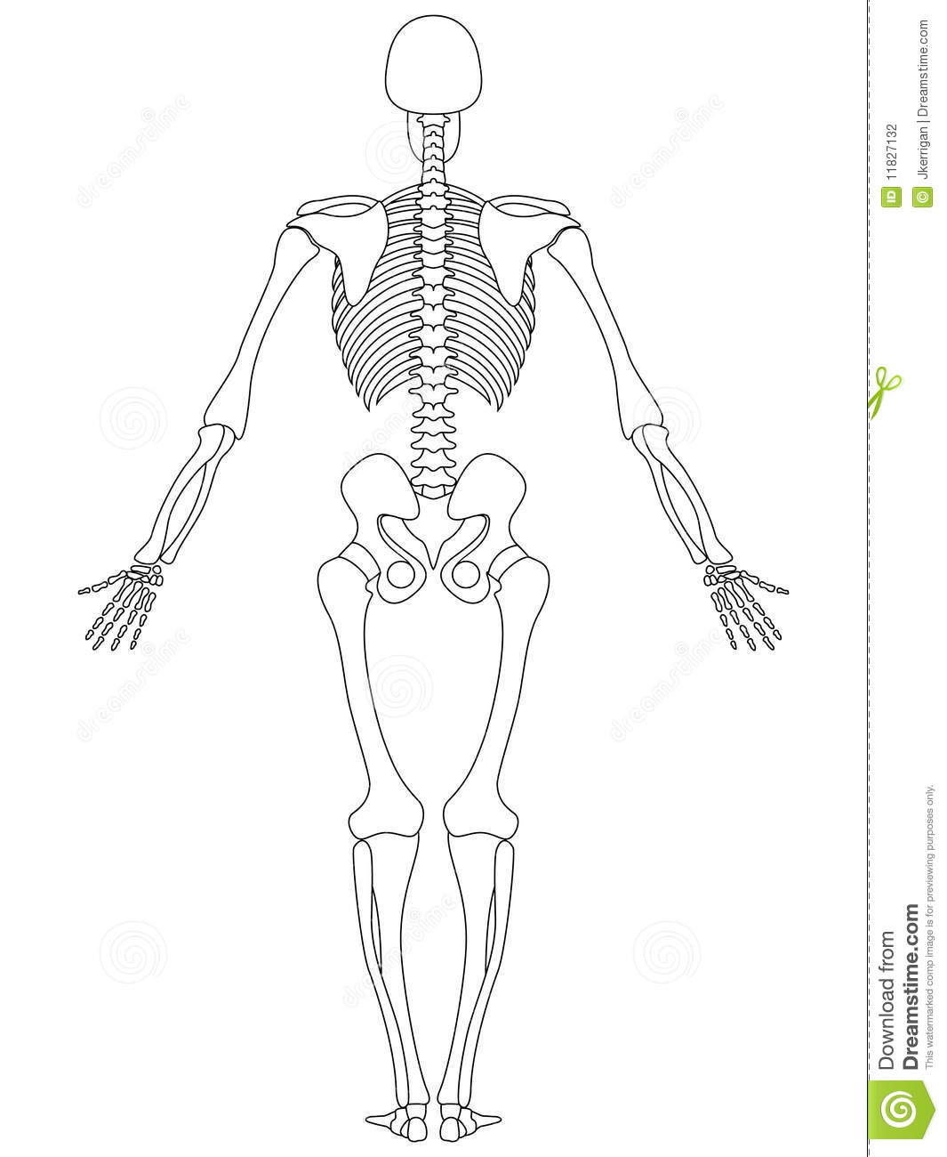 skeleton: rear view stock photography - image: 11827132, Skeleton