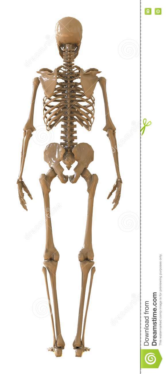 skeleton rear view. plastic layout of the human skeleton on white, Skeleton