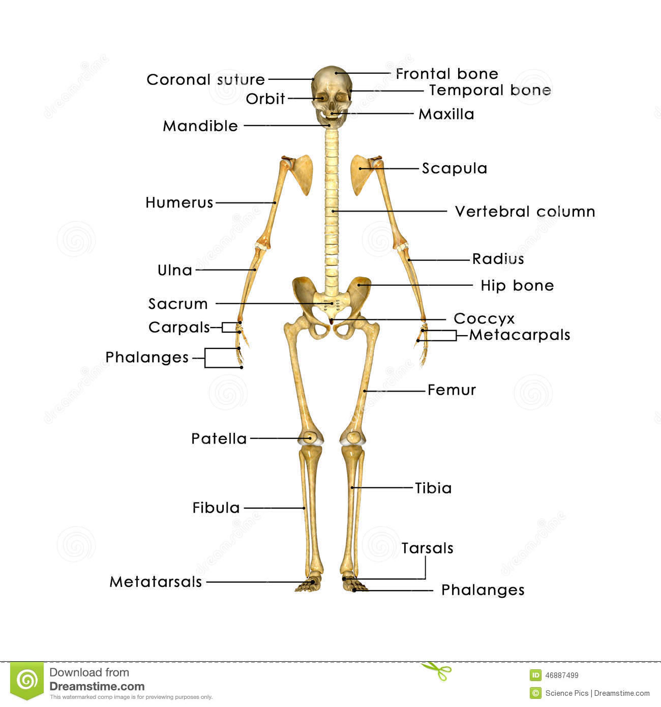 Skeleton Without Rib Cage Stock Illustration Illustration Of