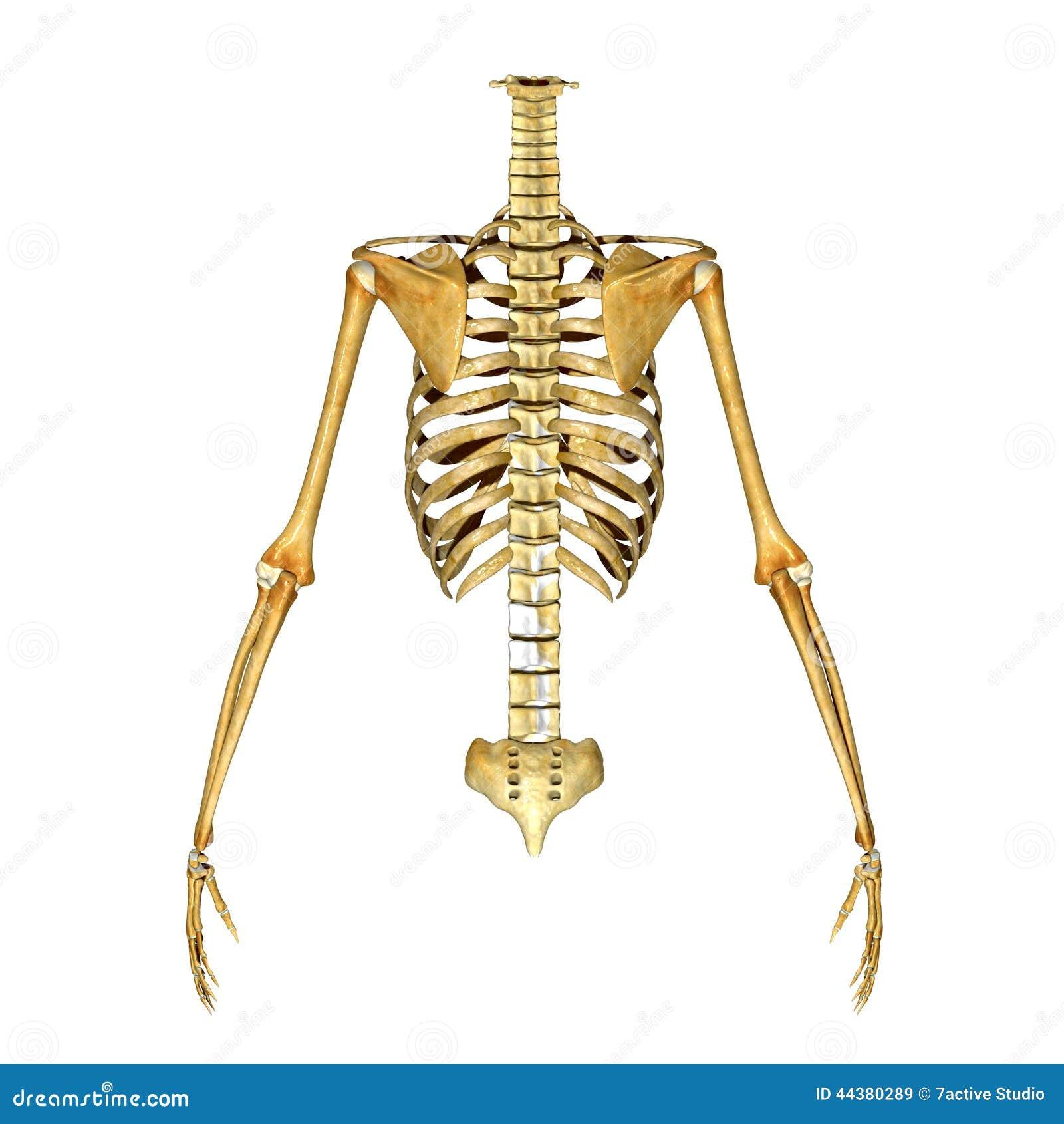 Skeleton: Ribs, Hand And Back Bones Stock Illustration ...