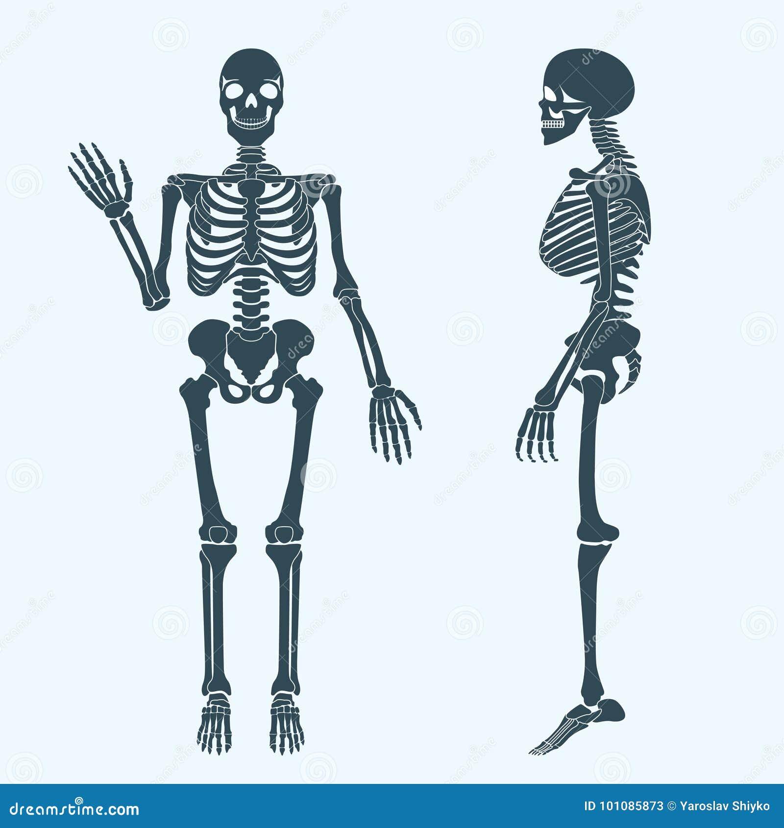 Skeleton Schattenbildvektor Der Menschlichen Knochen Anatomie Des ...
