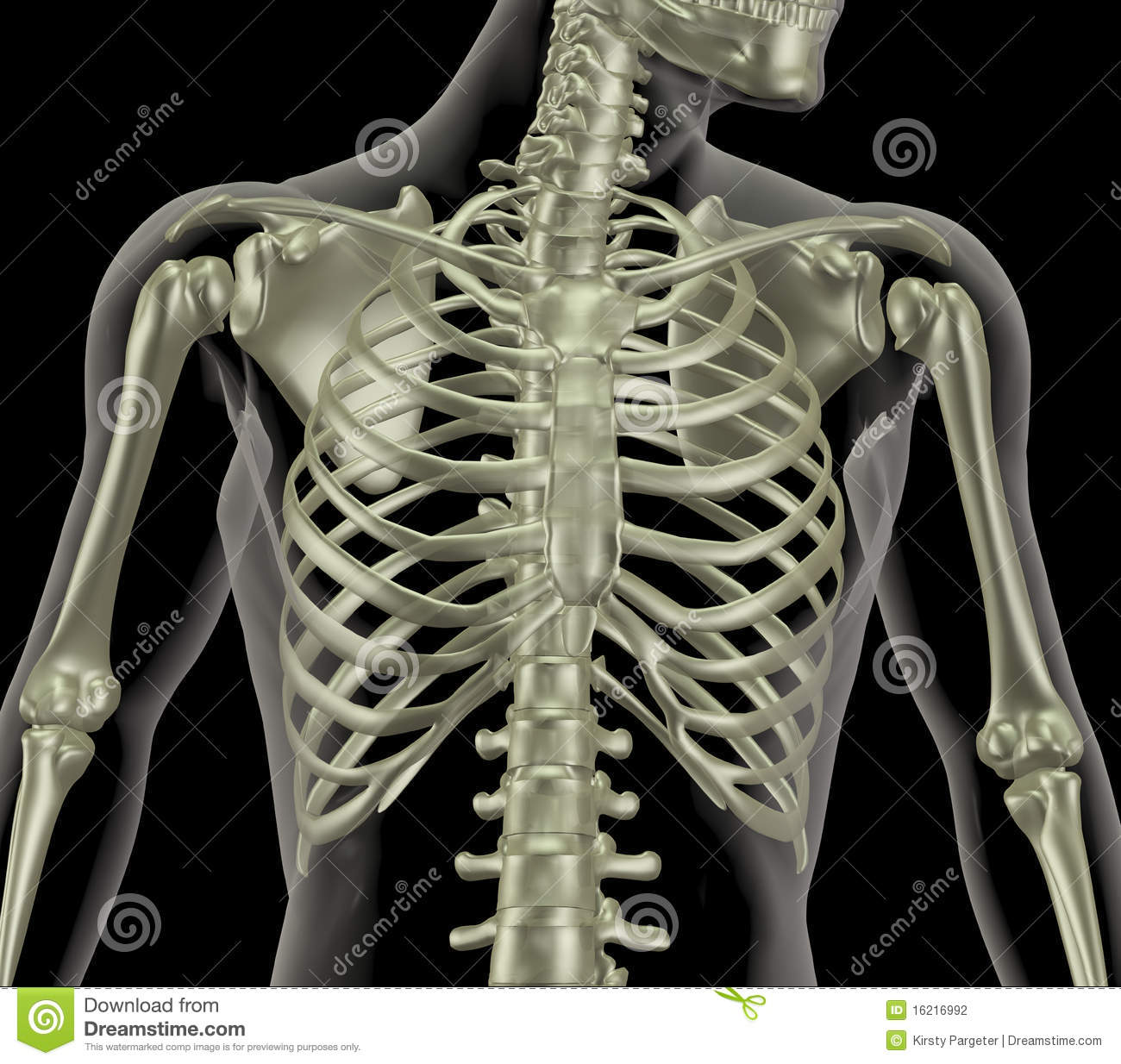 Skeleton Showing Close Up Of Rib Cage Stock Illustration