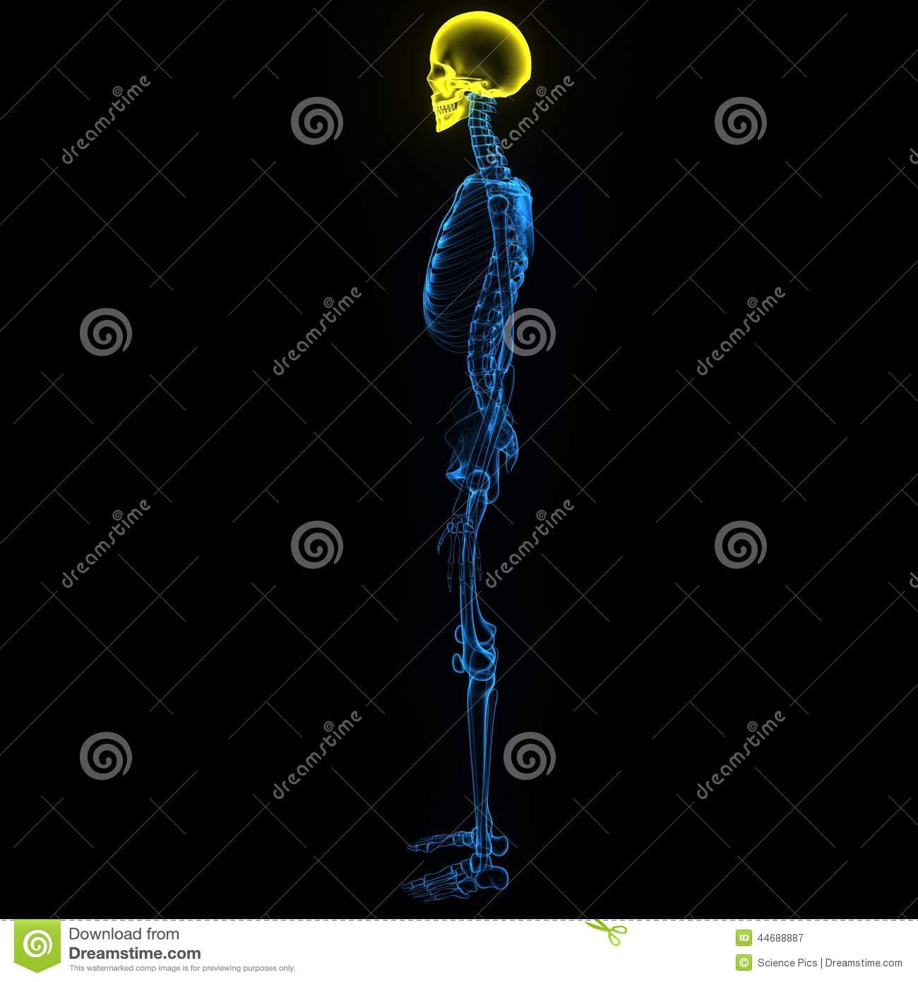 Skeleton with skull and backbone side view