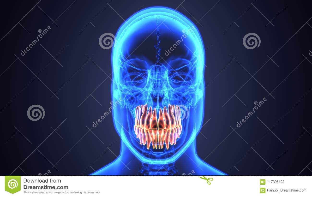 Skeleton And Teeth Anatomy Medical Accurate 3d Illustration Stock