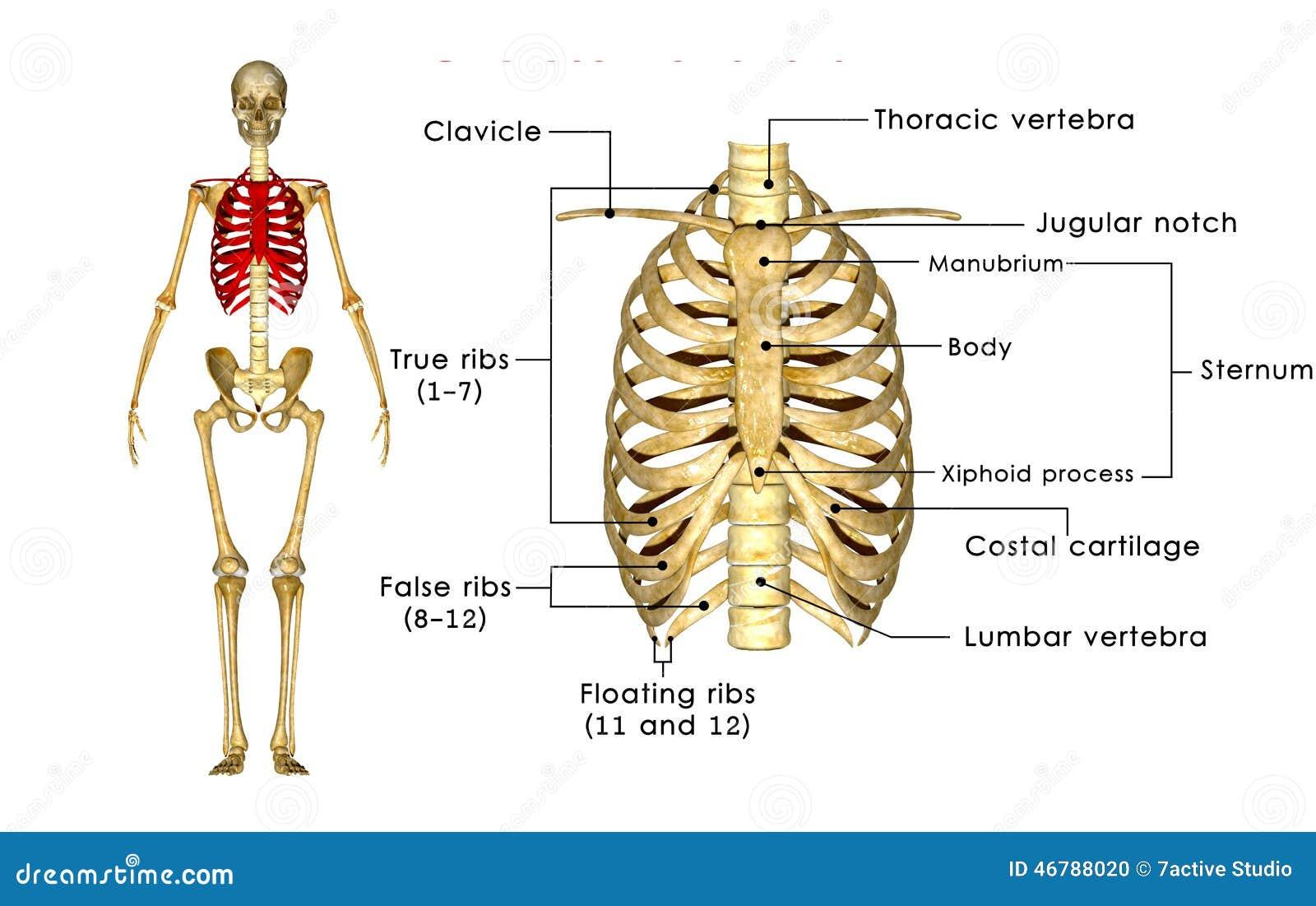 skeleton of thorax stock illustration image of cage 46788020. Black Bedroom Furniture Sets. Home Design Ideas