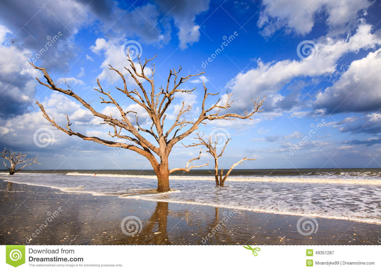 Skeleton Trees On Coast Charleston South Carolina Stock