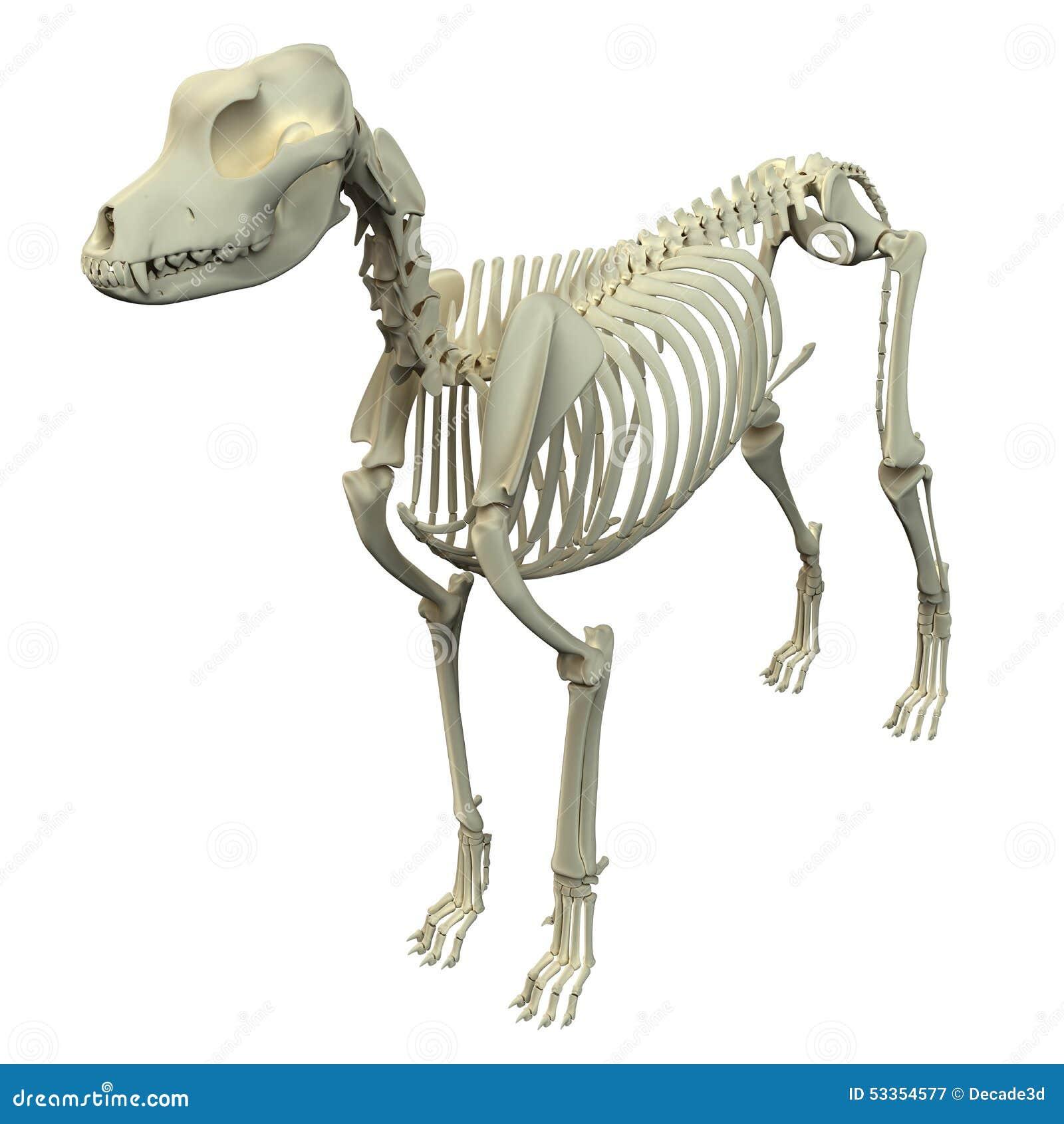 Skelett- anatomi för hund - anatomi av ett manligt hundskelett