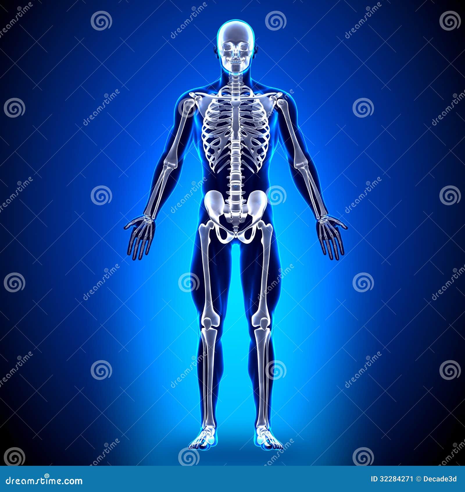 Skelett - Anatomie-Knochen stock abbildung. Illustration von rippe ...