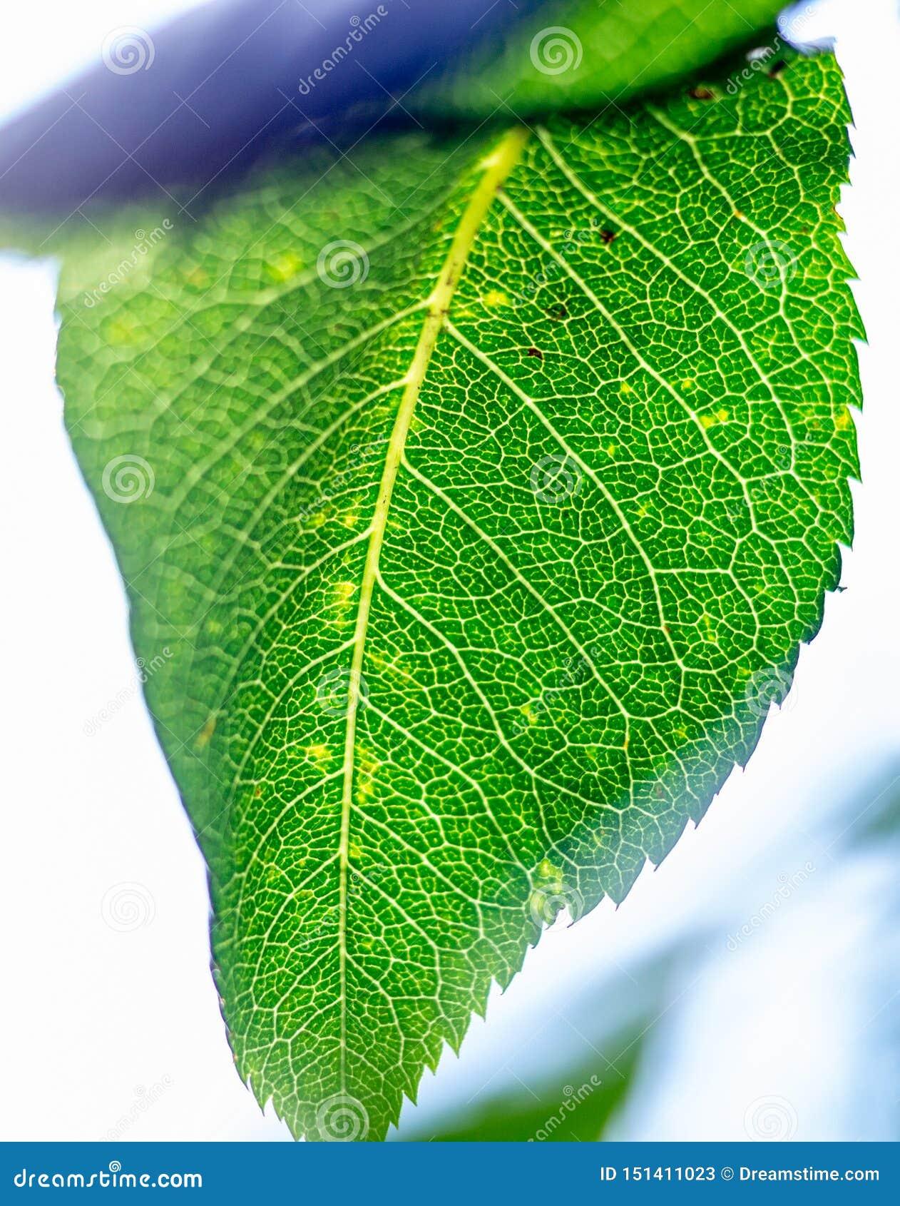 Skelett av ett grönt blad