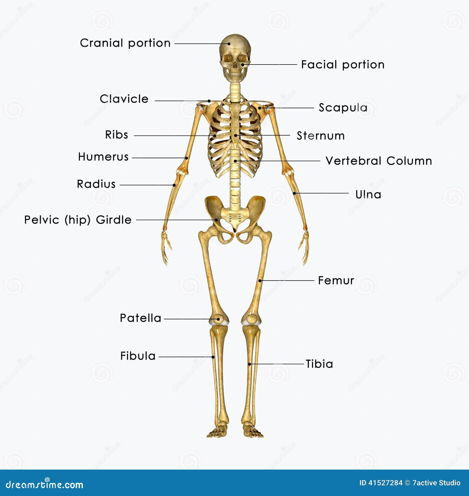 Ziemlich Das Skelettsystem Anatomie Fotos - Anatomie Ideen - finotti ...