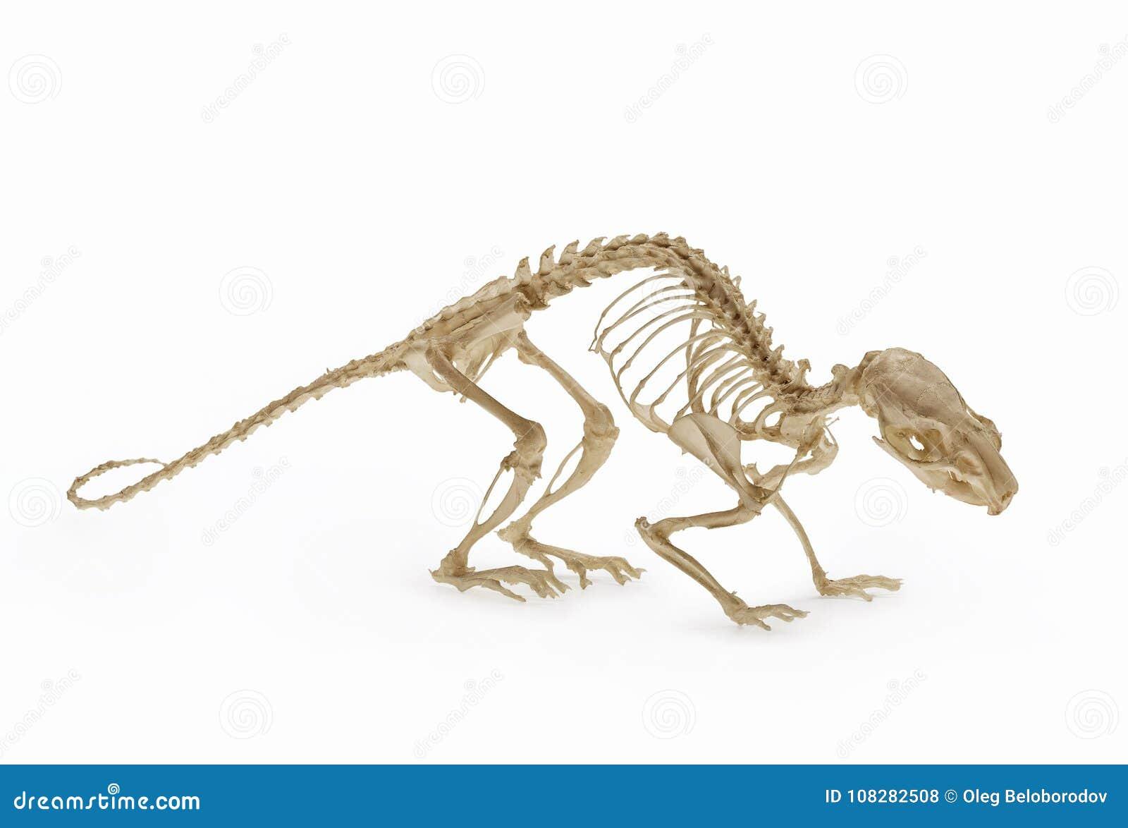 Skelett Der Ratte, Eine Zulage Nagetierzoologie Stockfoto - Bild von ...
