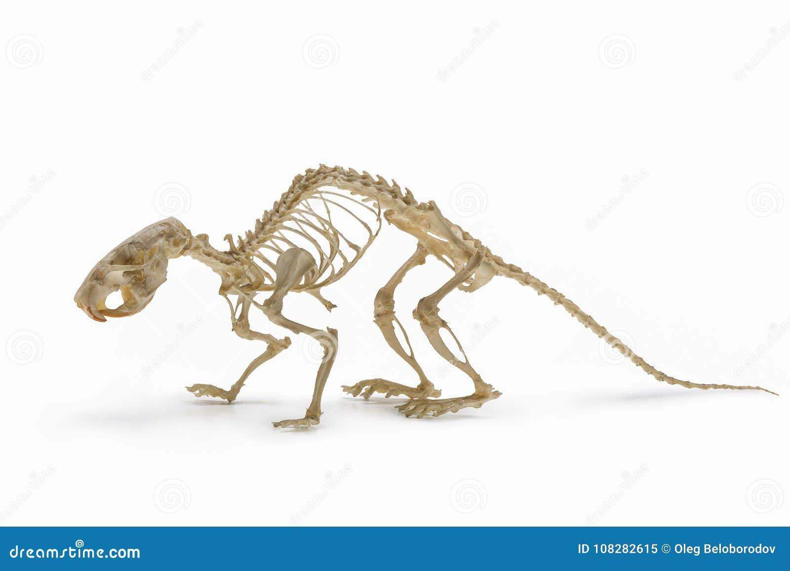 Skelett Der Ratte, Eine Zulage Nagetierzoologie Stockbild - Bild von ...