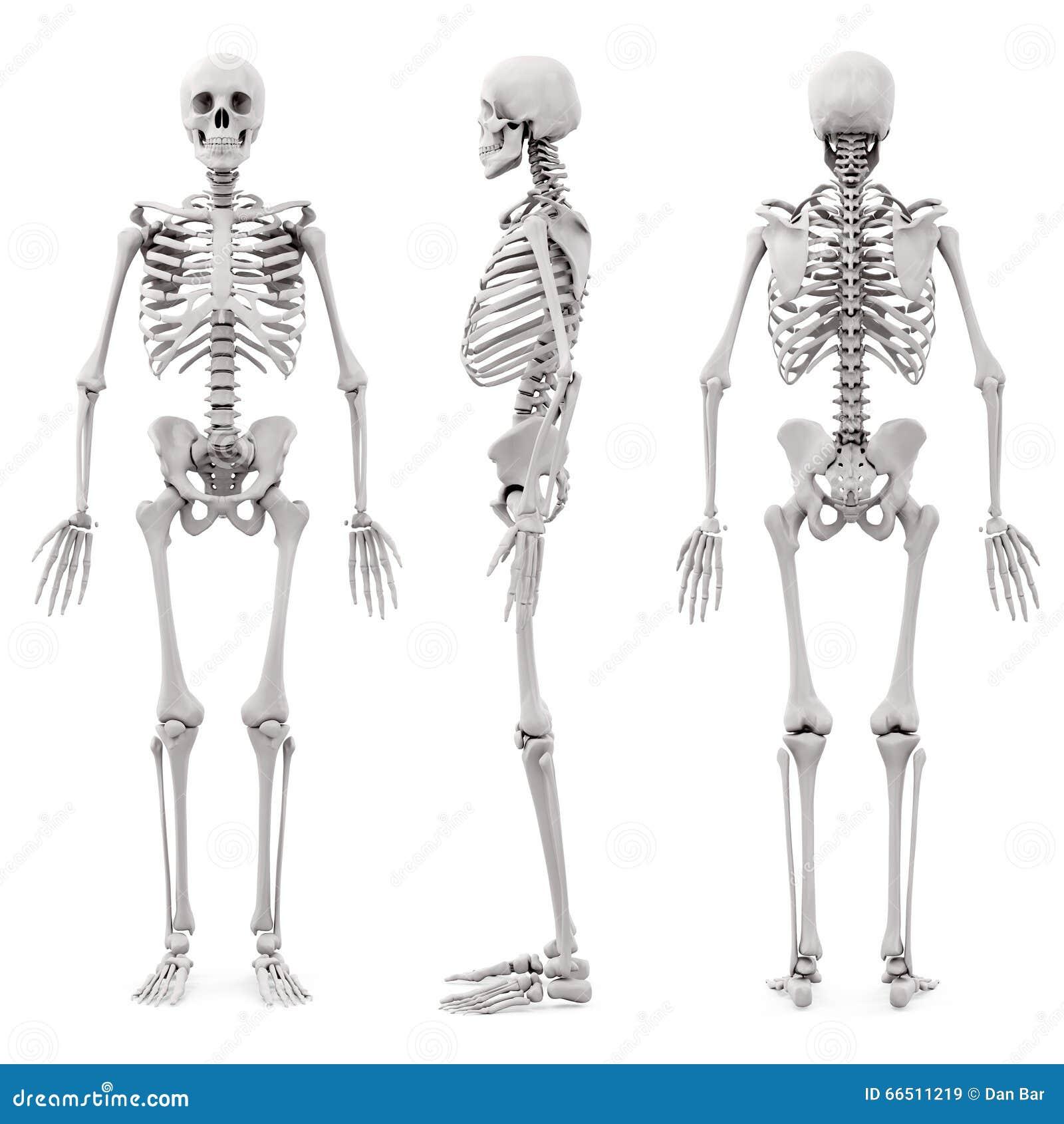 skelett des menschen 3d stock abbildung illustration von abbildung 66511219. Black Bedroom Furniture Sets. Home Design Ideas