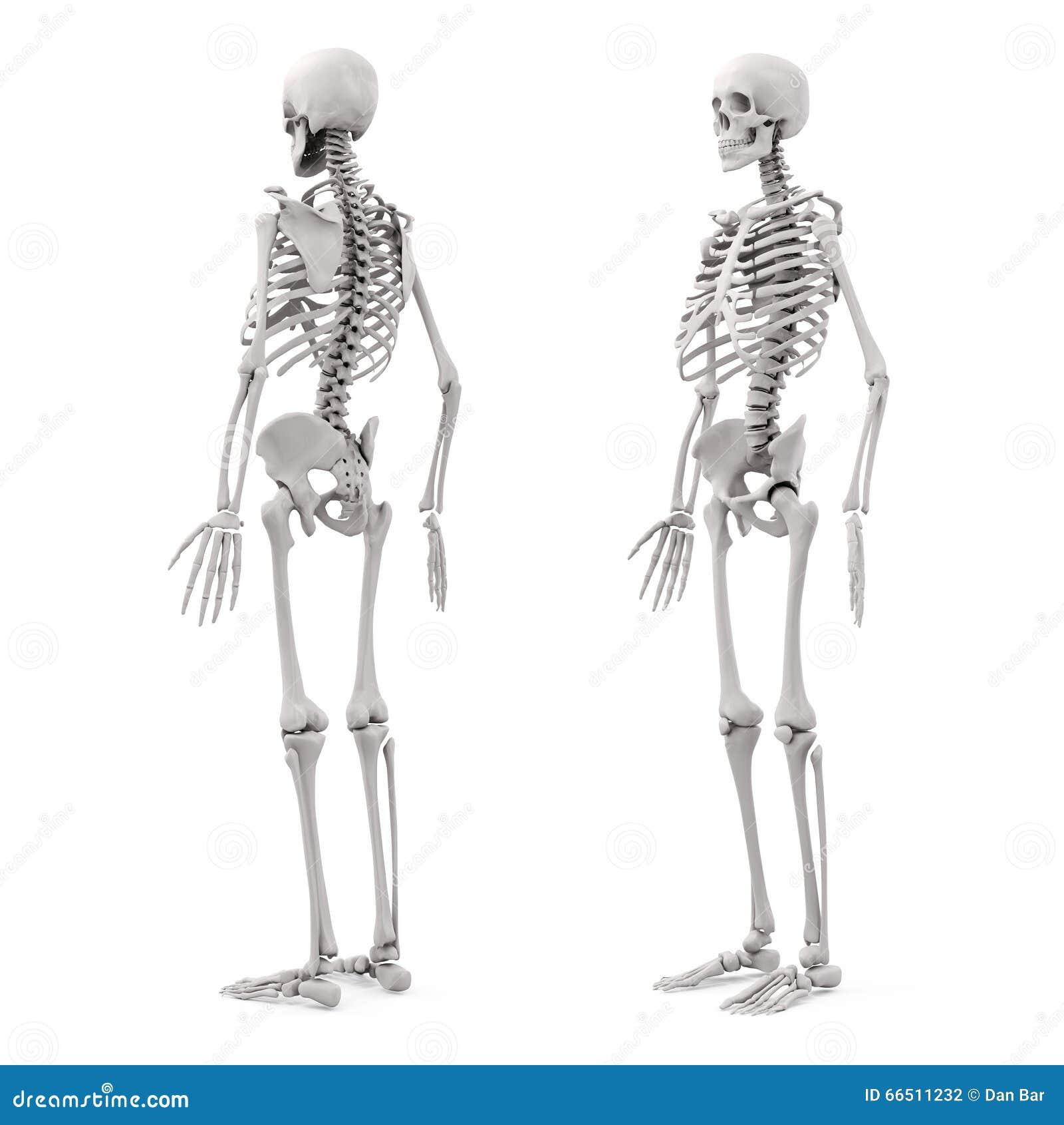 Skelett des Menschen 3D stock abbildung. Illustration von graphik ...