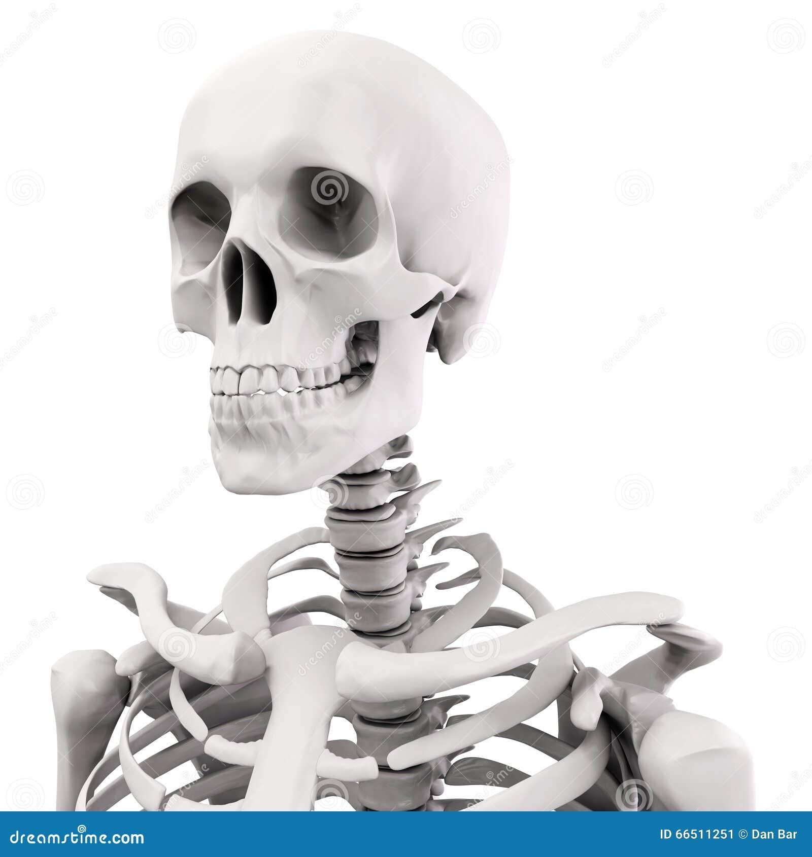 Skelett des Menschen 3D stock abbildung. Illustration von haltung ...