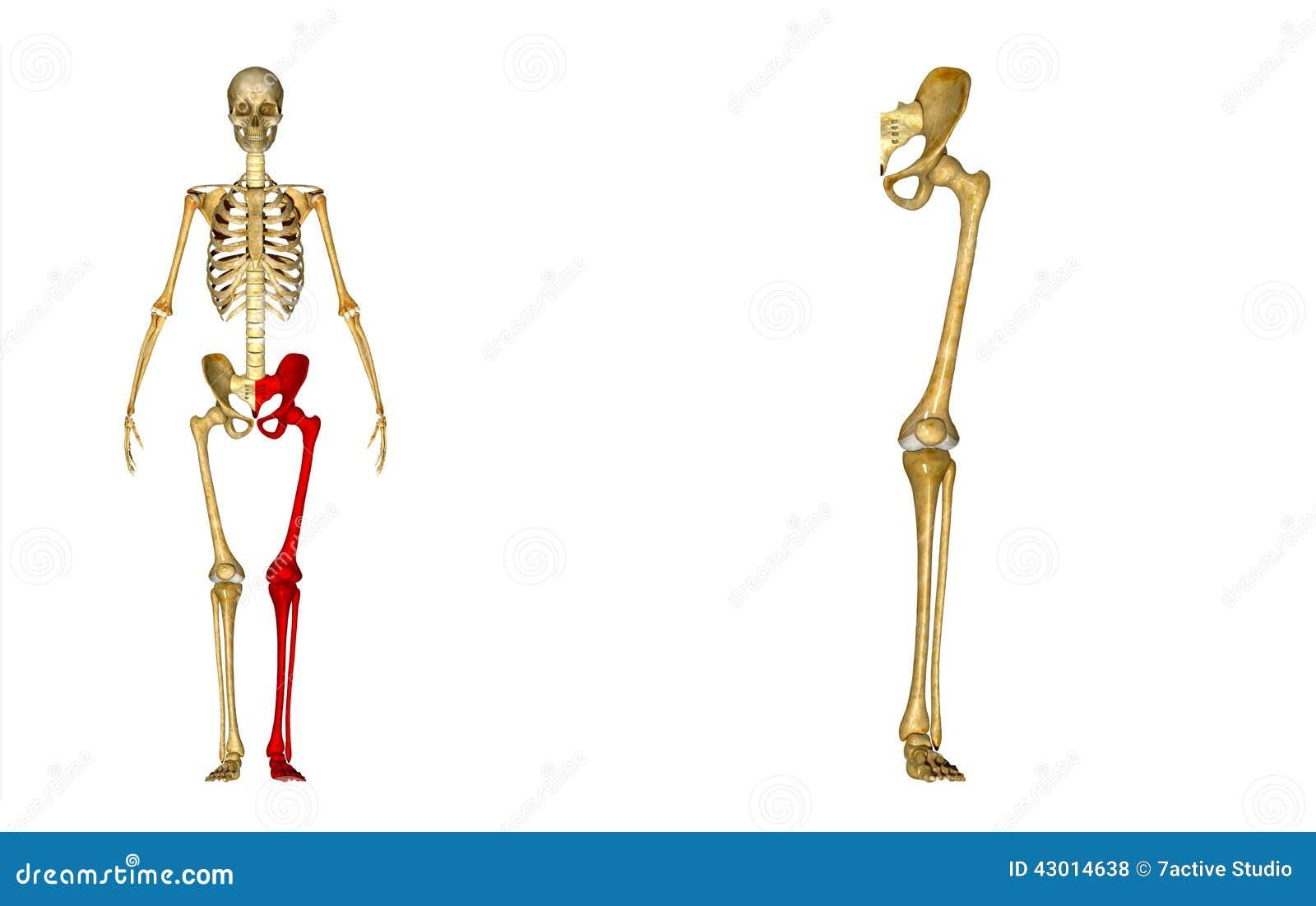 Skelett: Linke Beinknochen: Hüften-, Schenkelbein-, Schienbein ...