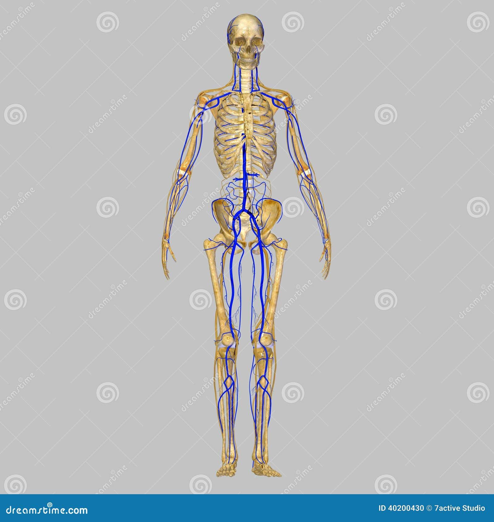 Skelett mit Adern stock abbildung. Illustration von anatomie - 40200430
