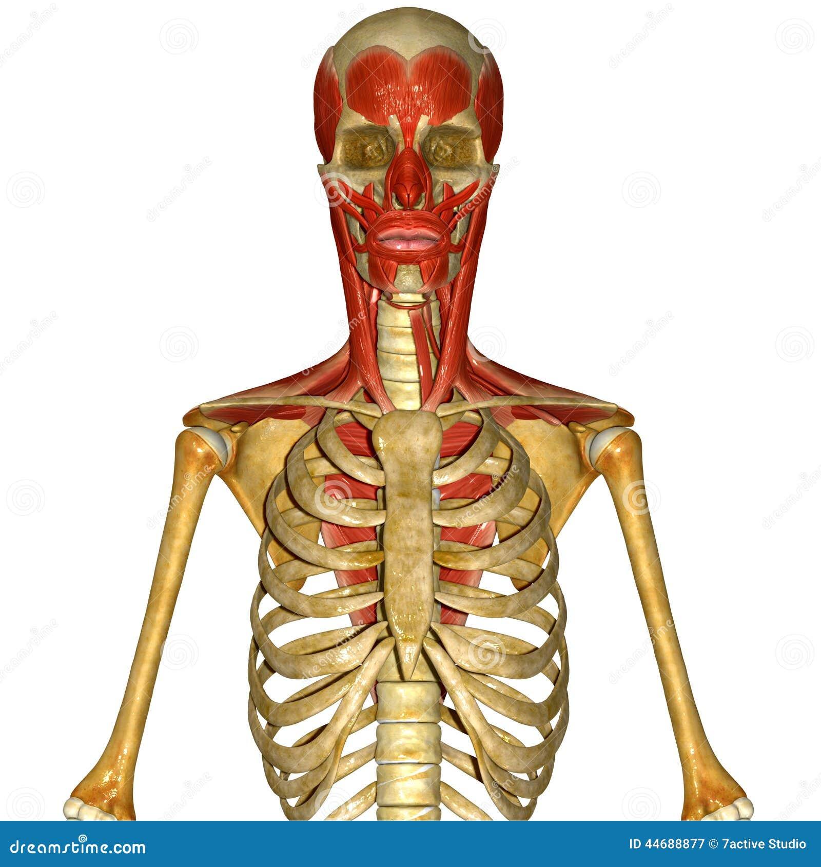 Skelett Mit Den Gesichtsmuskeln Stock Abbildung - Illustration von ...