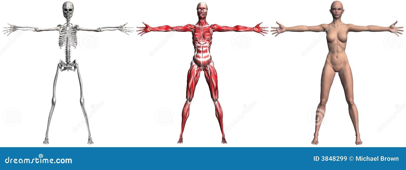 Skelett Und Muskeln Einer Menschlichen Frau Stock Abbildung ...
