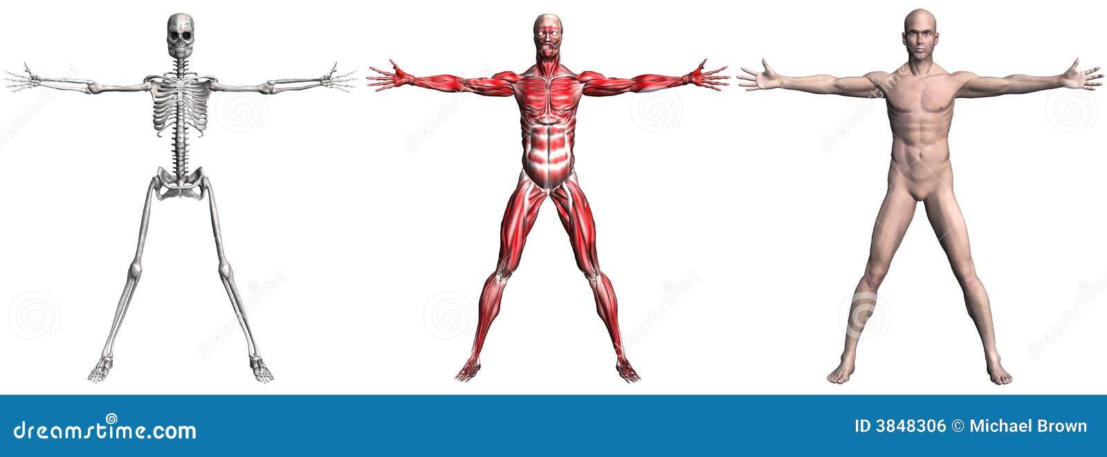 Skelett Und Muskeln Eines Menschlichen Mannes Stock Abbildung ...
