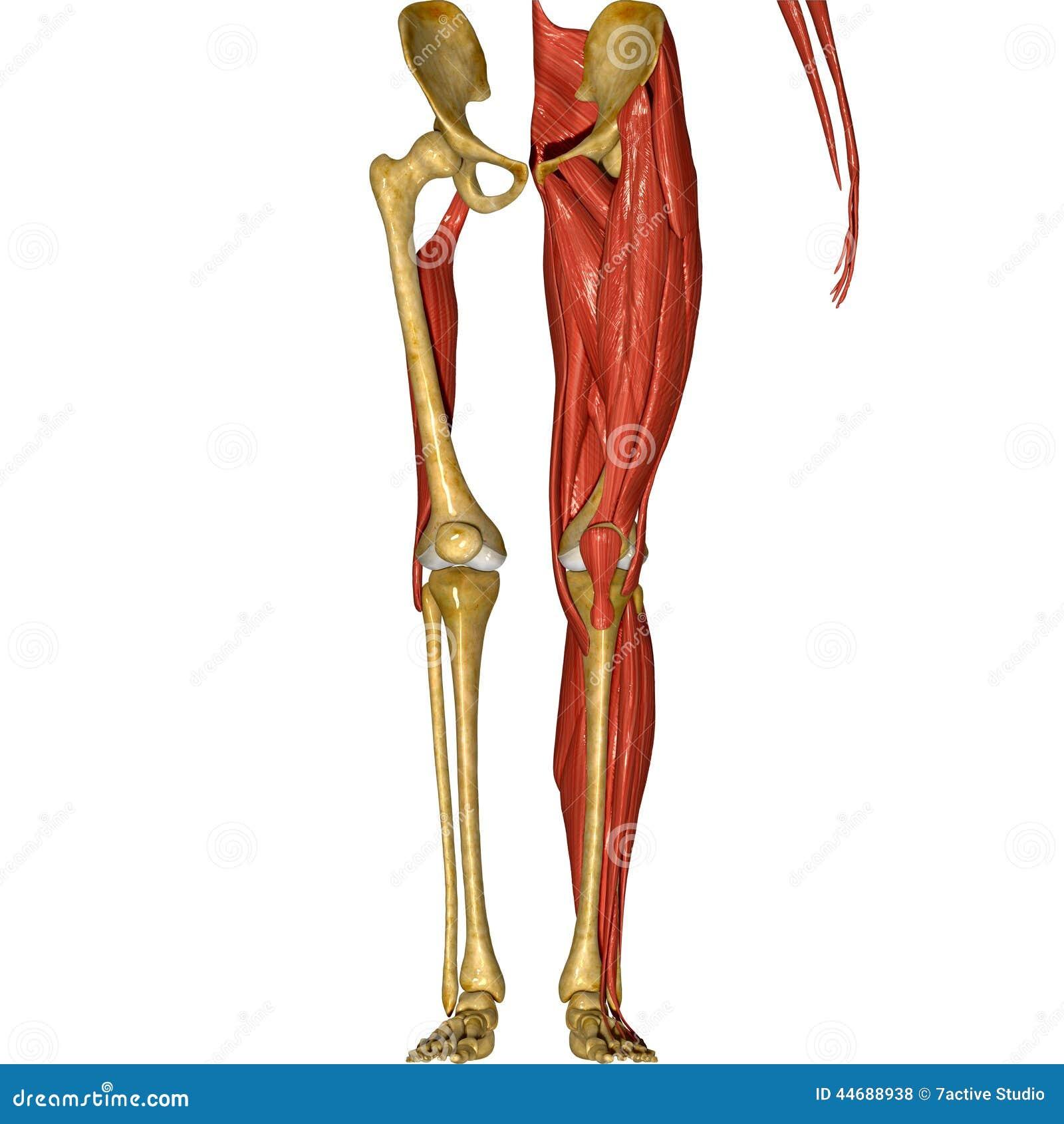 Skelett Und Muskeln Von Beinen Stock Abbildung - Illustration von ...