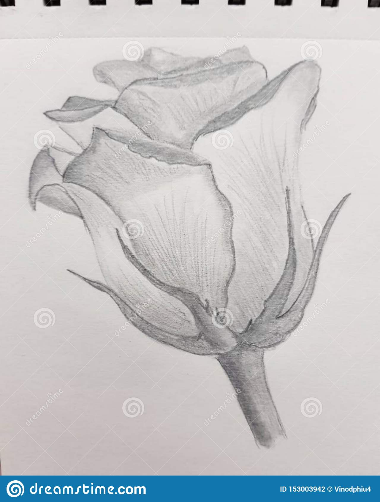 sketch Flower, Pencil Art of Flower