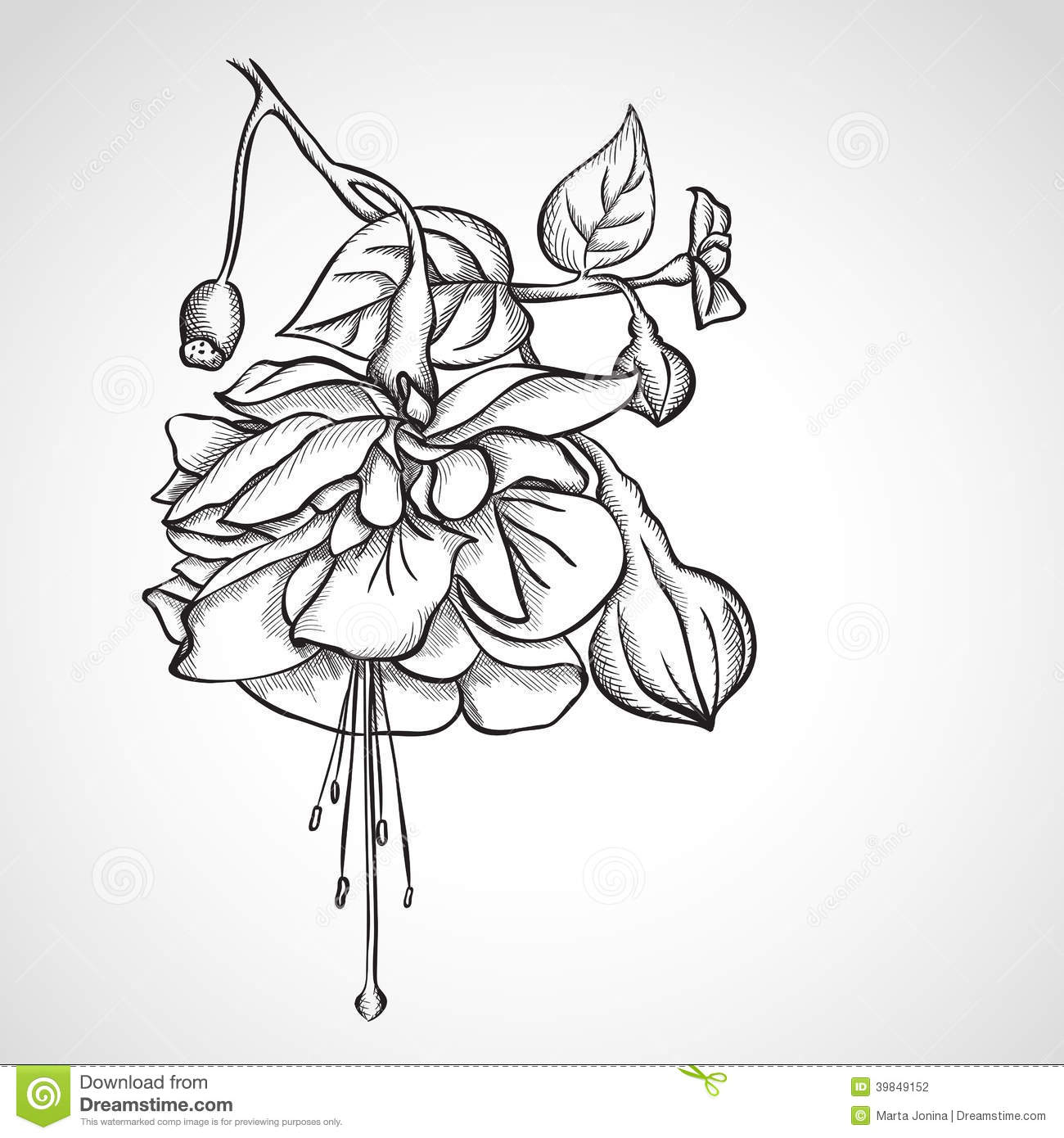 Sketch Fuchsia Flowers Stock Illustration. Image Of Head