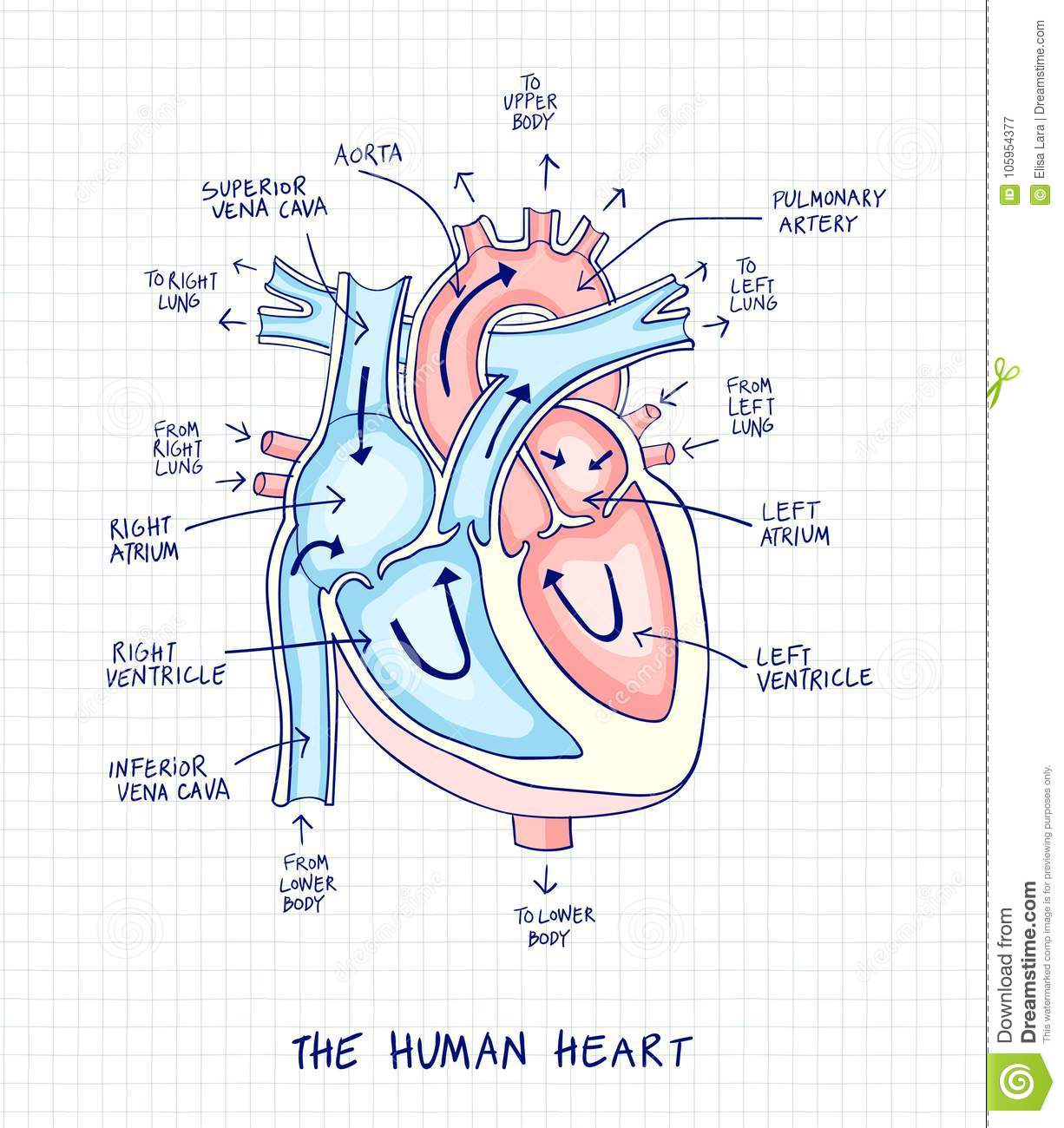 Sketch of human heart anatomy line and color on a checkered bac sketch of human heart anatomy line and color on a checkered background educational diagram with hand written labels of the main parts ccuart Images