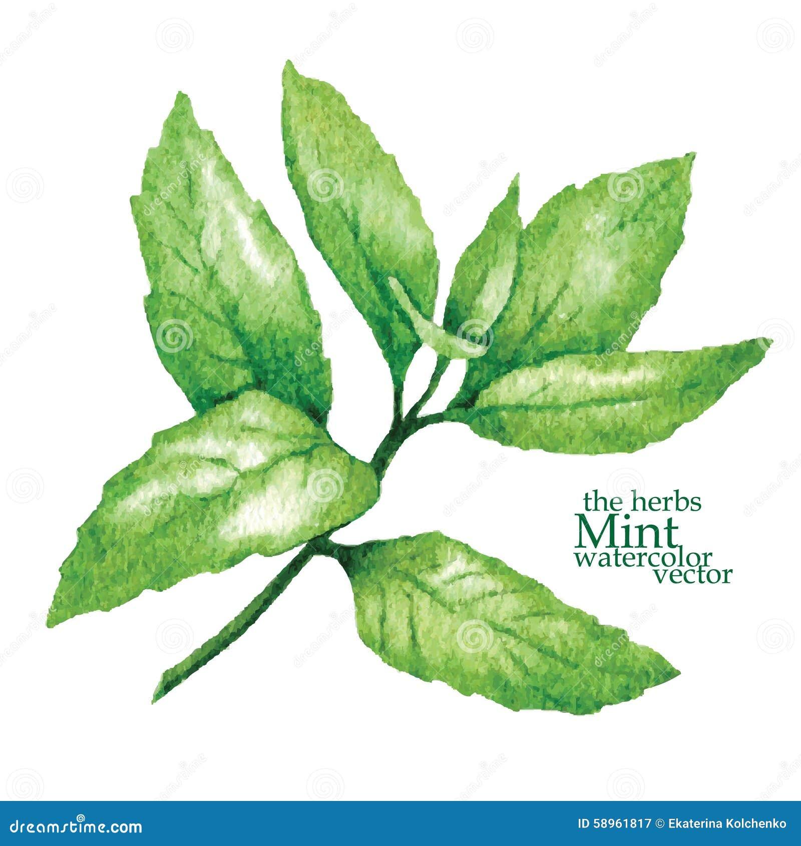 Sketch Of Mint. Vector Illustration. Stock Illustration ...