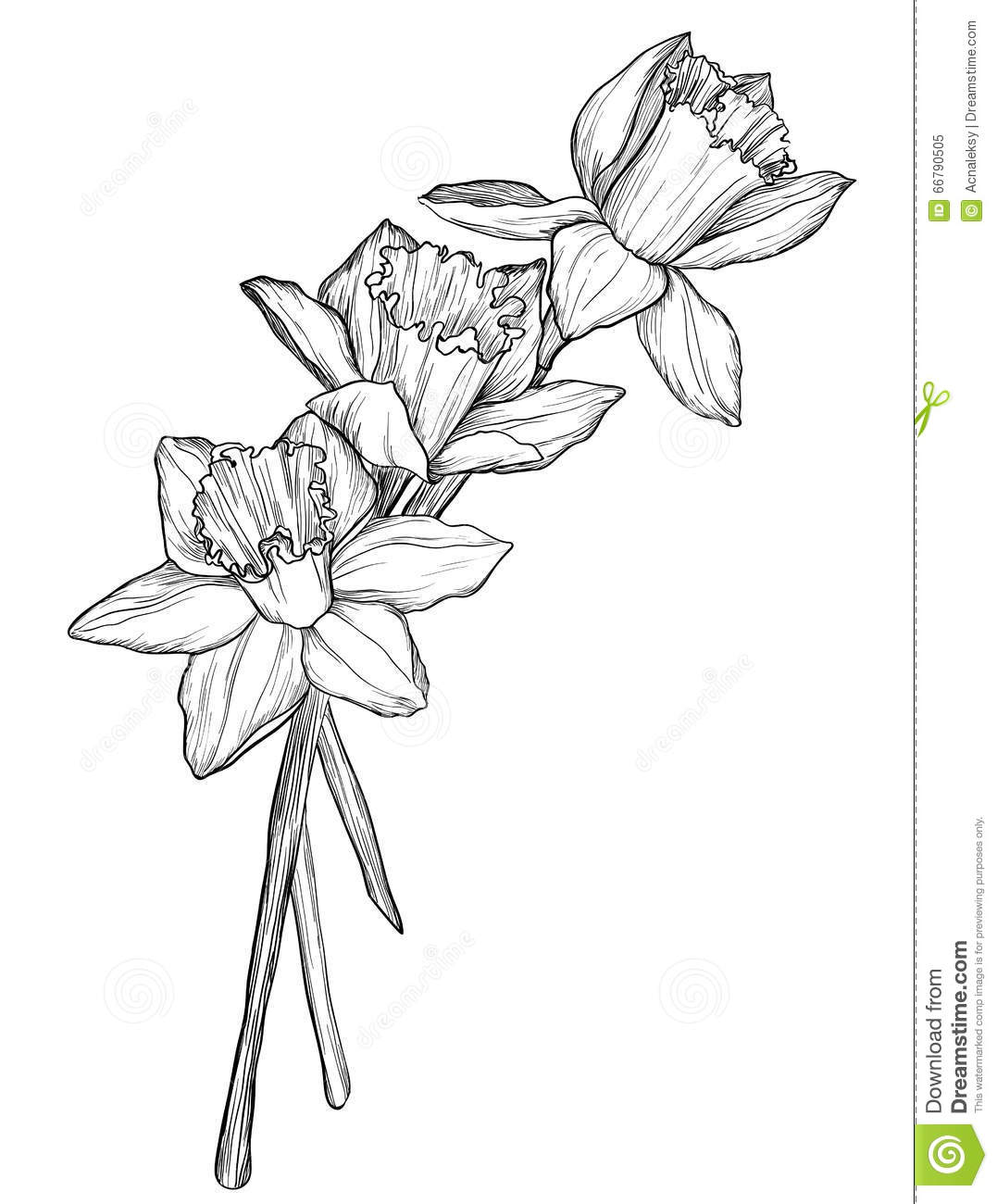 Line Drawing Daffodil : Sketch of narcissus flowers blossom stock vector